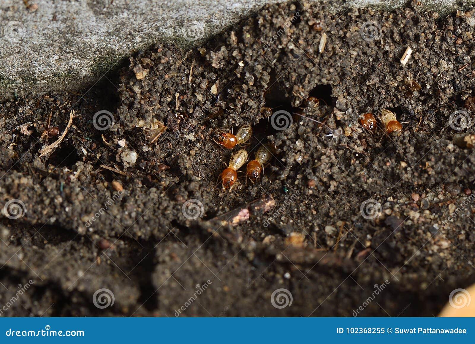 Schließen Sie herauf Termite
