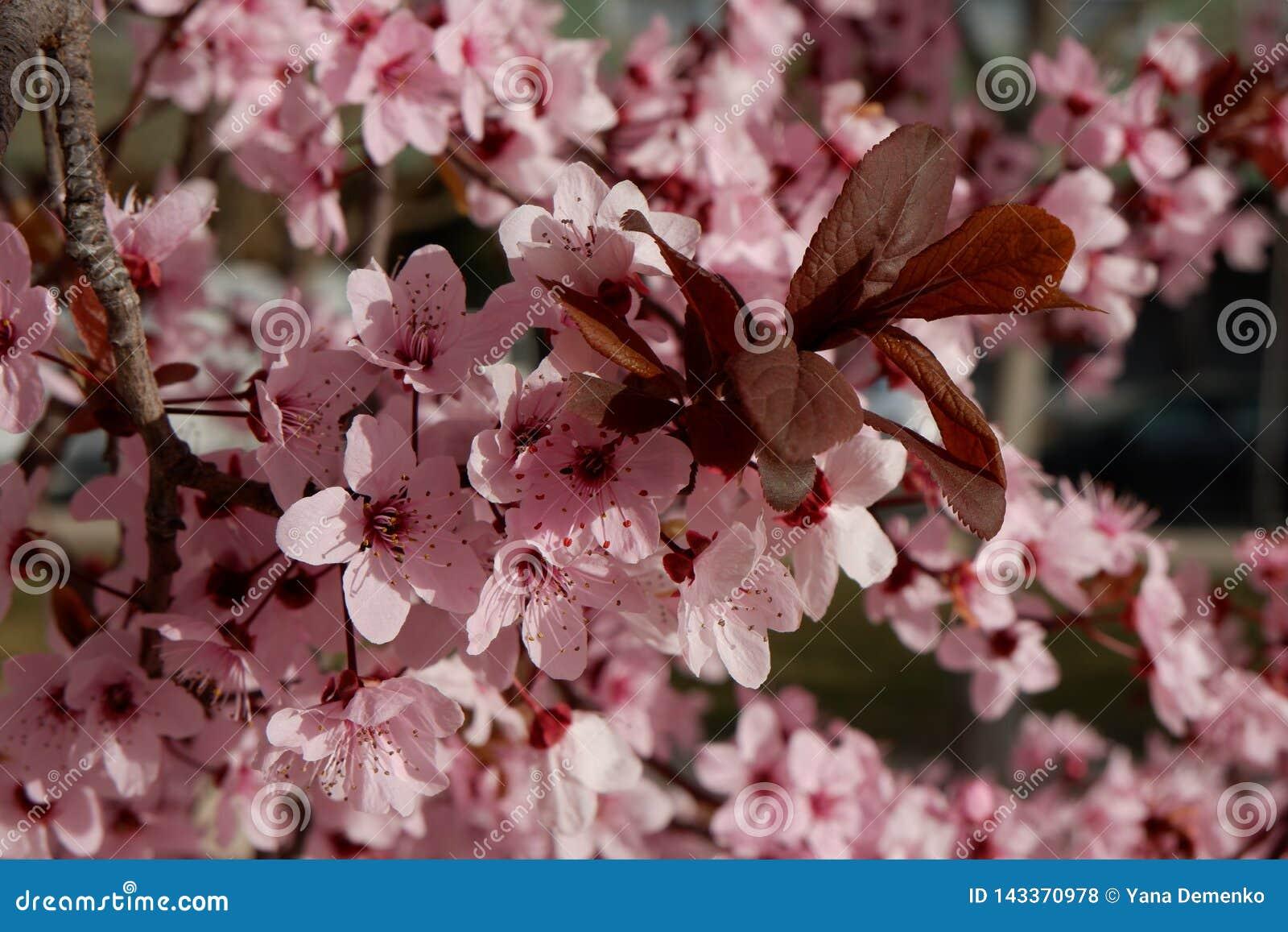 Schließen Sie oben auf Baum der japanischen Pflaume mit zarten rosa Blumen