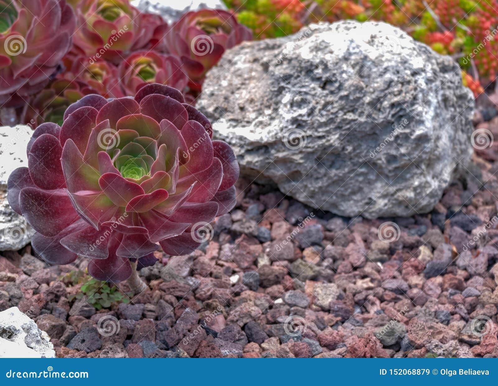 Schließen Sie oben vom Aeonium oder von den Baum houseleeks auf vulkanischem Hintergrund