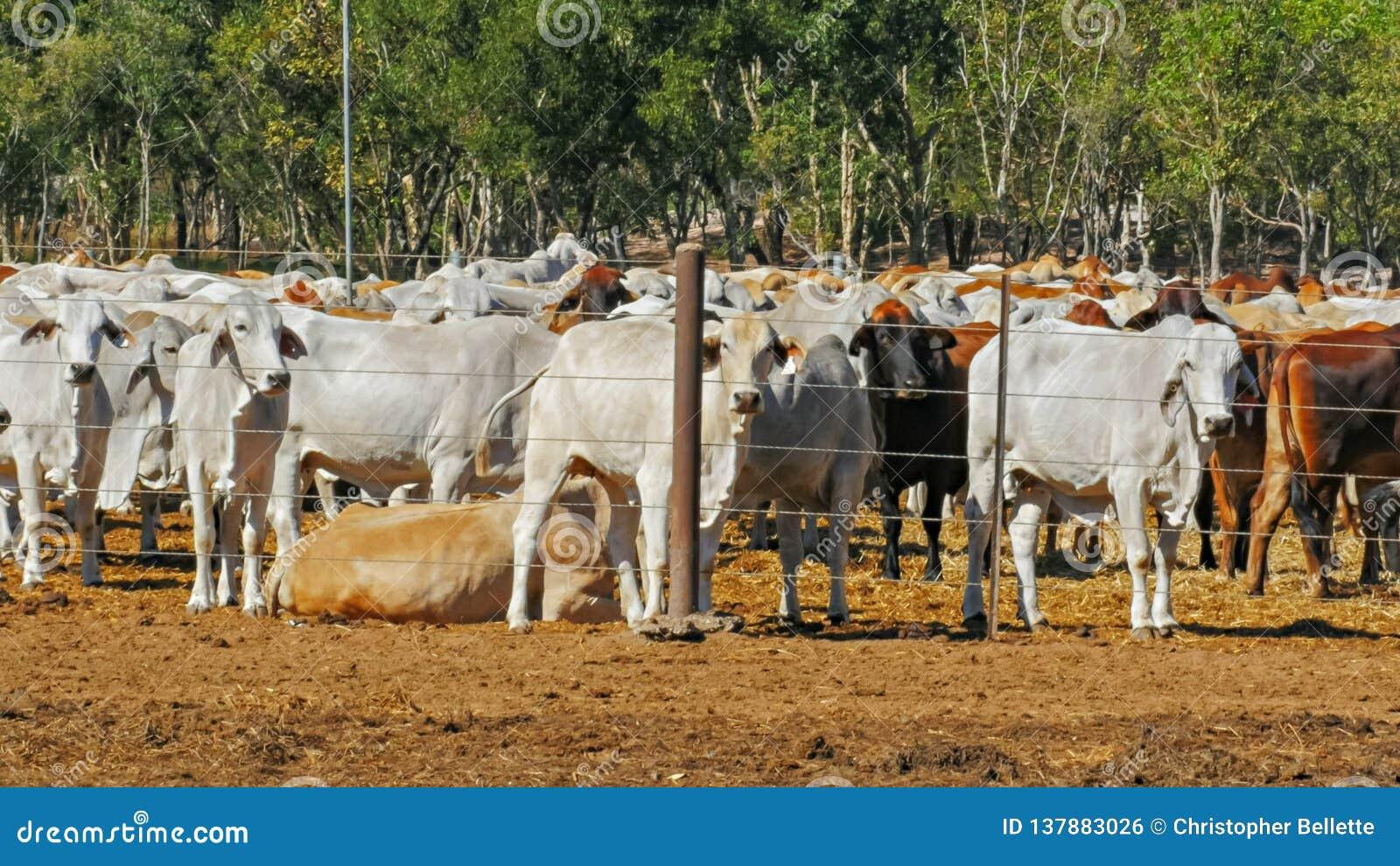 Schließen Sie oben von den Herden von den australischen BrahmanMastvieh, die an einem Viehyard gehalten werden