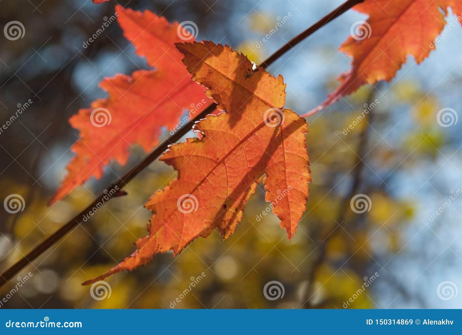 Schließen Sie oben von den roten Herbstahornblättern