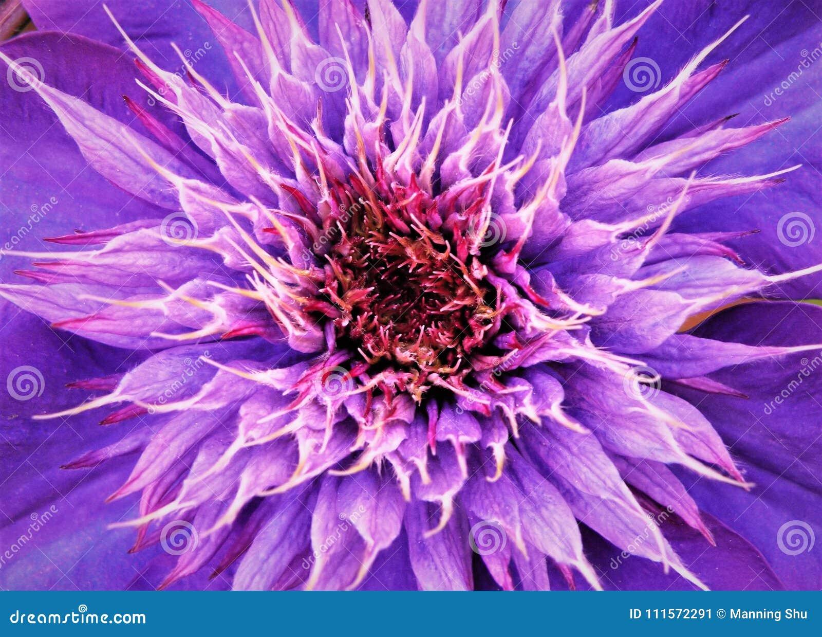 Schließen Sie oben von der Mitte der purpurrote Klematis-Blume