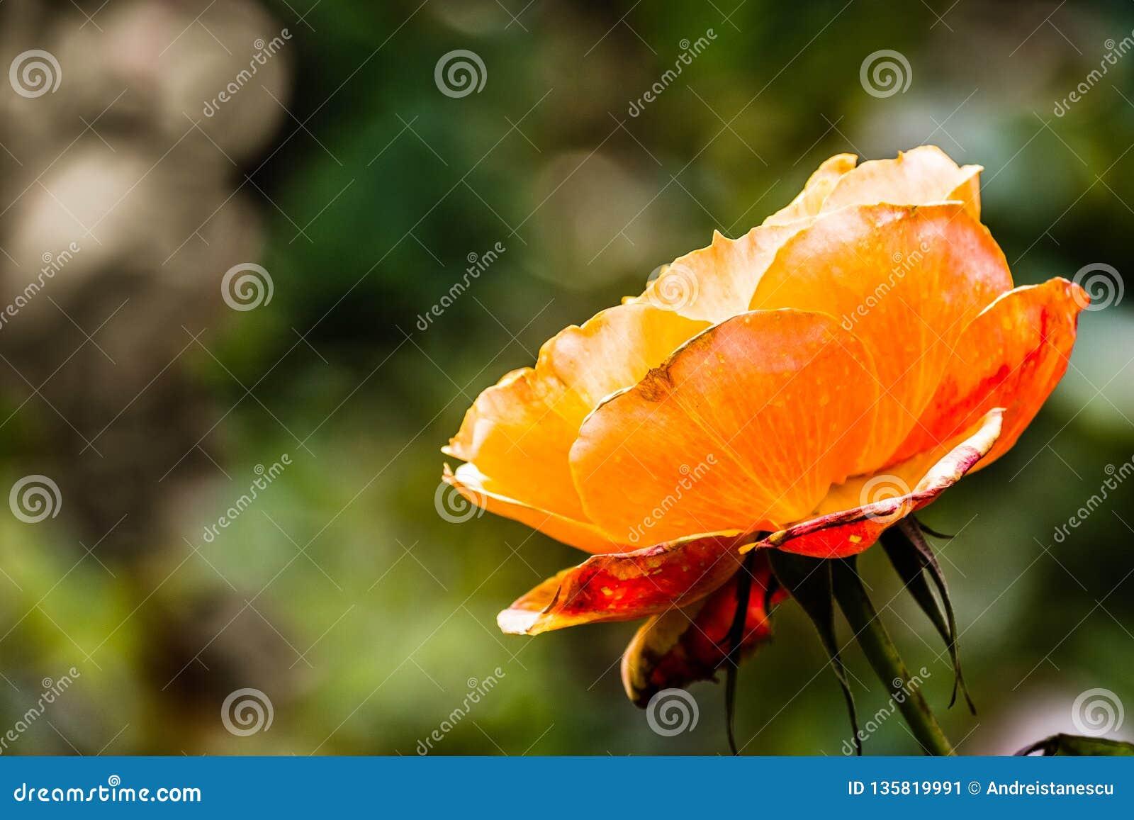 Schließen Sie oben von der orange Rose; unscharfer Hintergrund