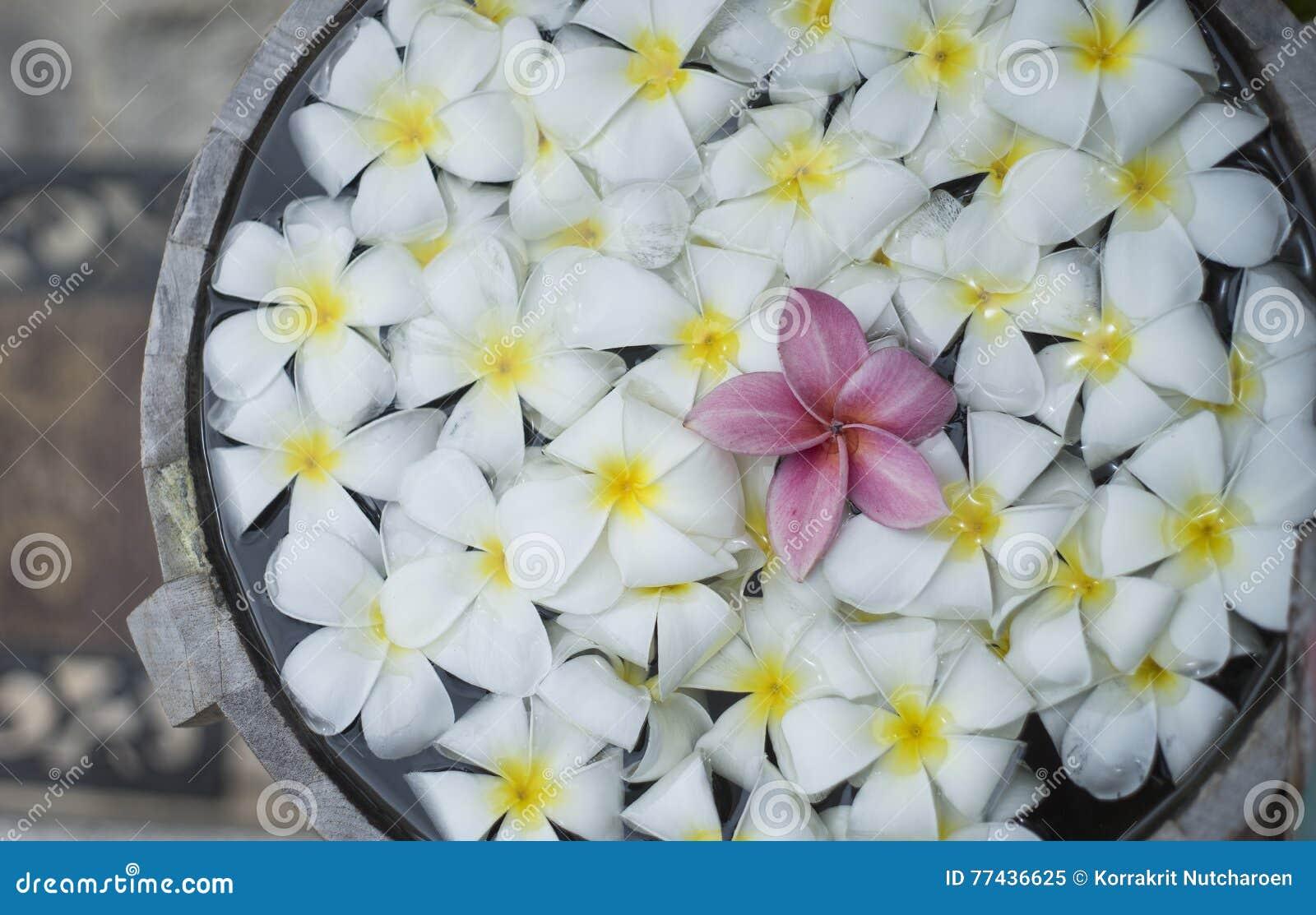 Schließen Sie oben von der rosa franjipani Plumeriablume, die unter weißer Blume auf Wasser im hölzernen Becken am thailändischen