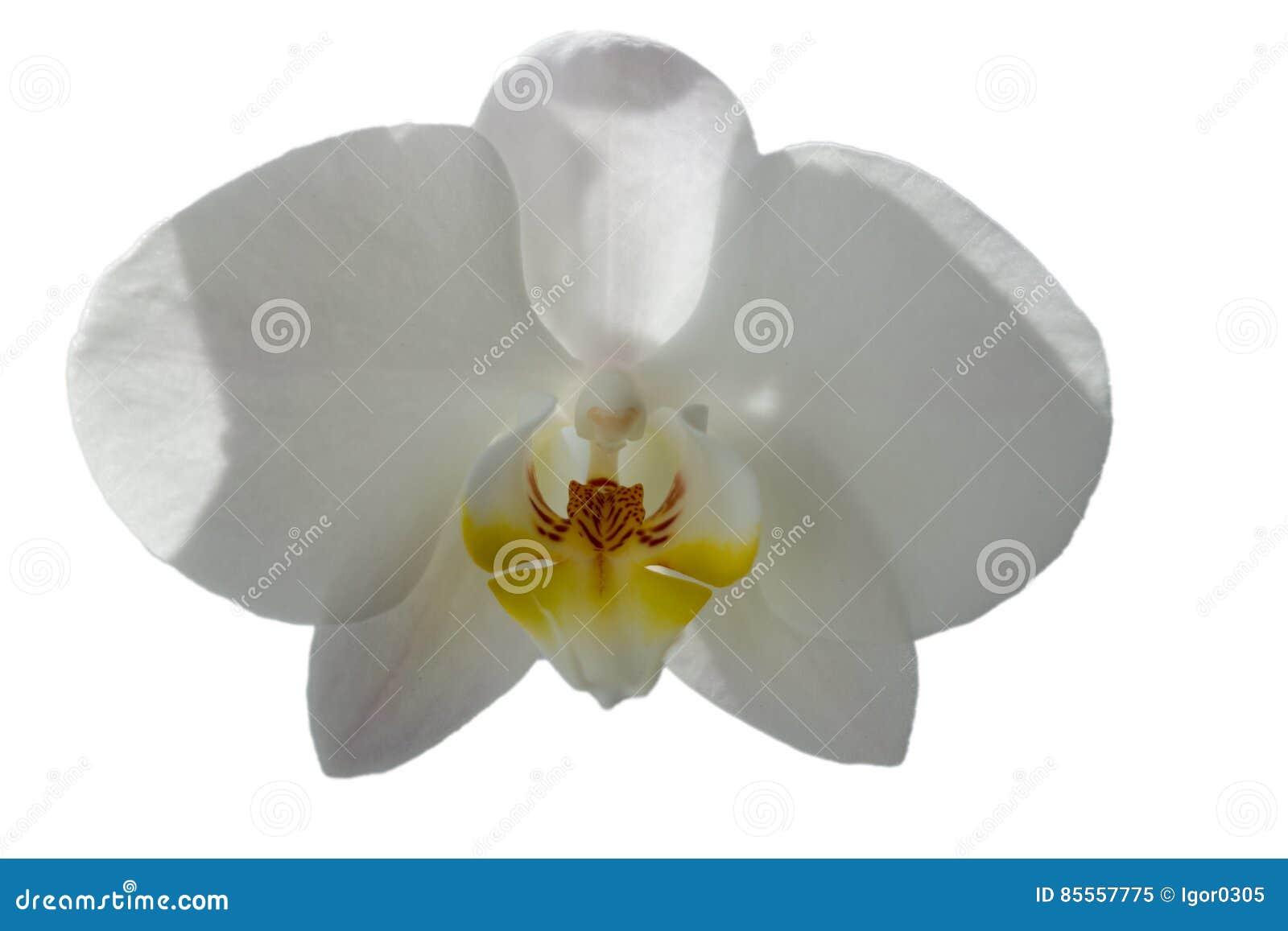 Schließen Sie oben von der weißen Orchideeblume