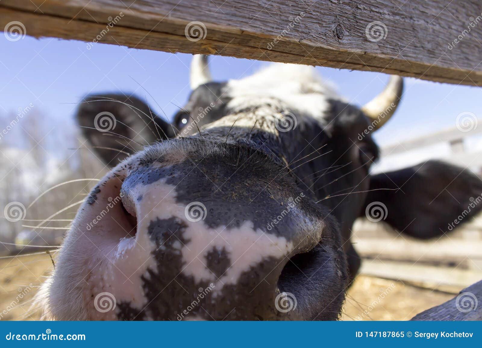 Schließen Sie oben von einem cow& x27; s-Nase Landwirtschaftliche Landschaft