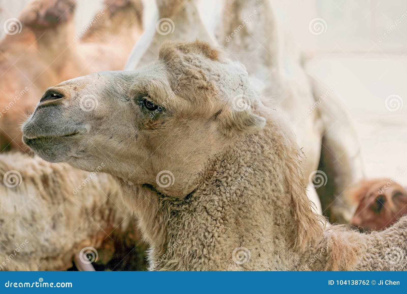 Schließen Sie oben von einem Kamel