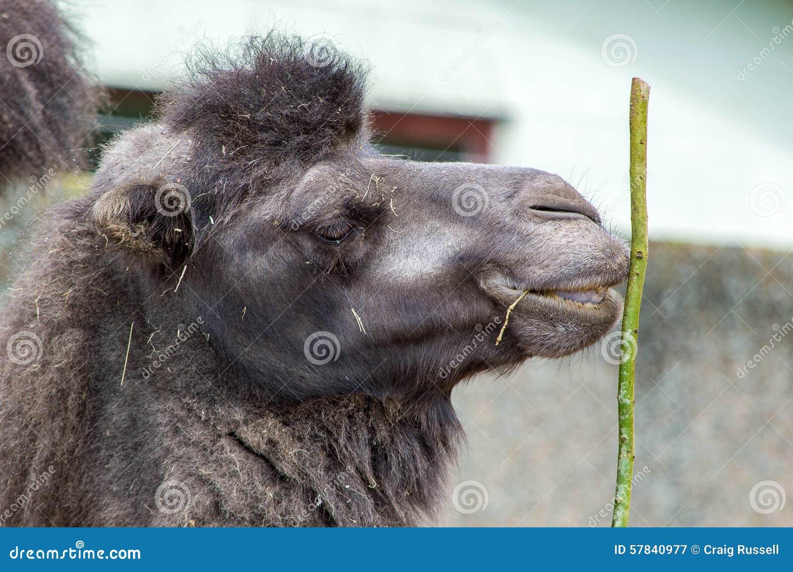 Schließen Sie oben von einem Kamelkopf, der einen Stock hält