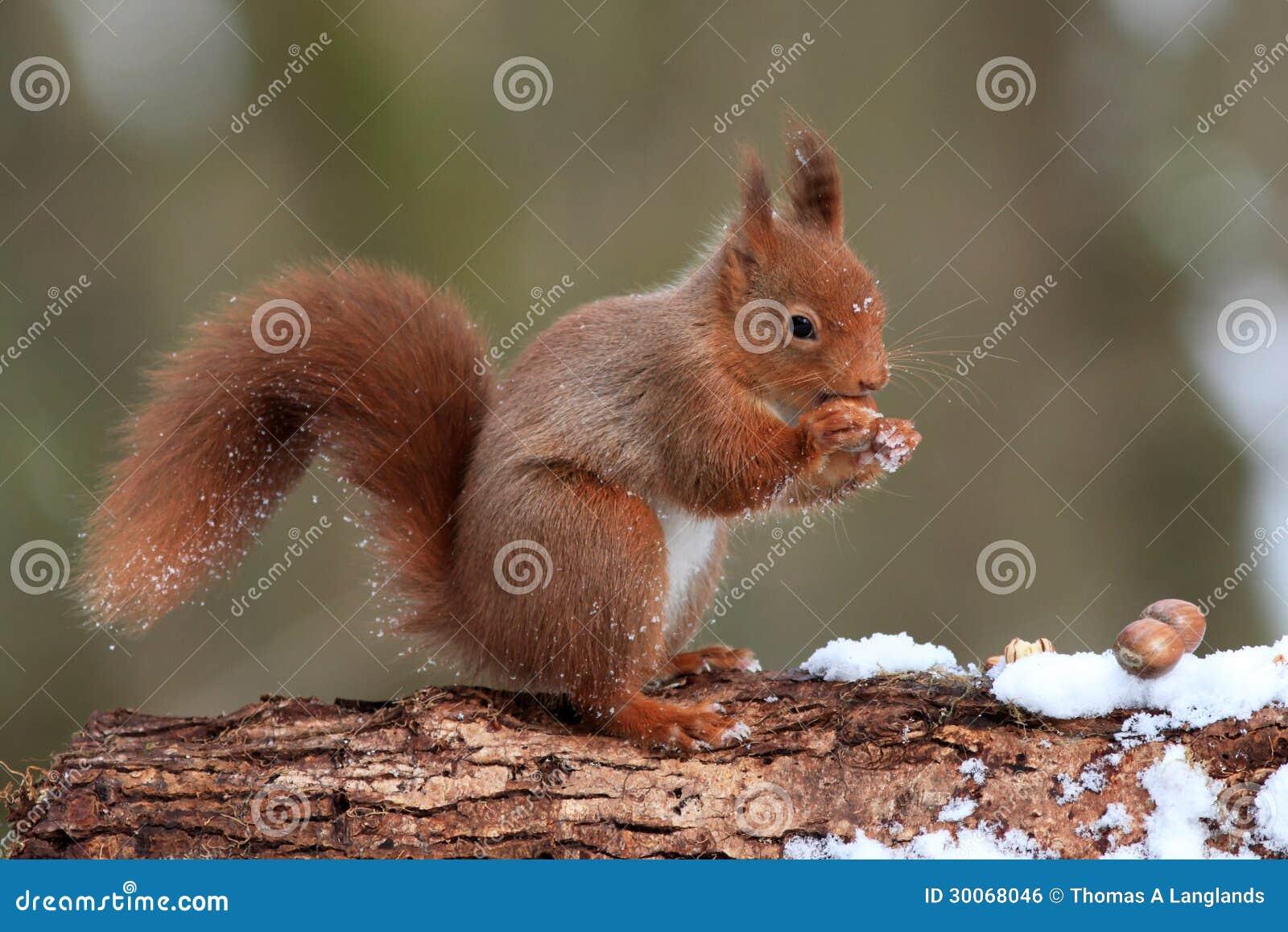 Rotes Eichhörnchen im Winter