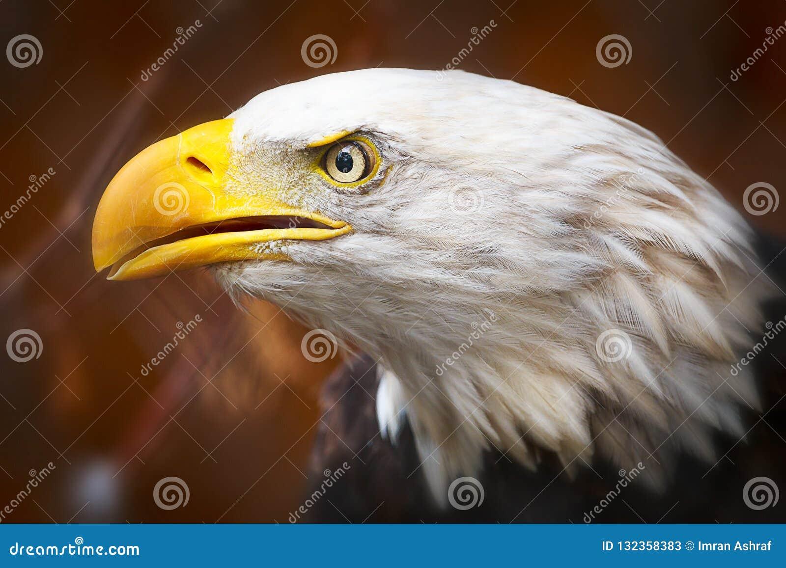 Schließen Sie oben von einem schönen Weißkopfseeadler