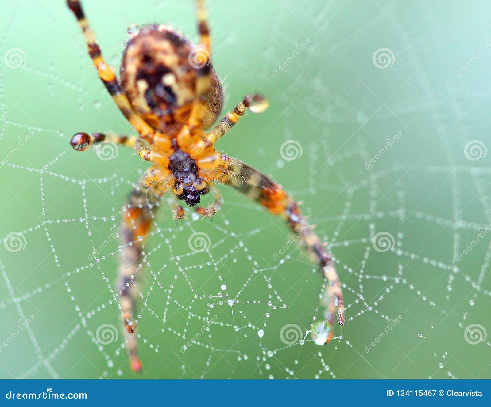 Schließen Sie oben von einer Spinne in einem Netz arachnid