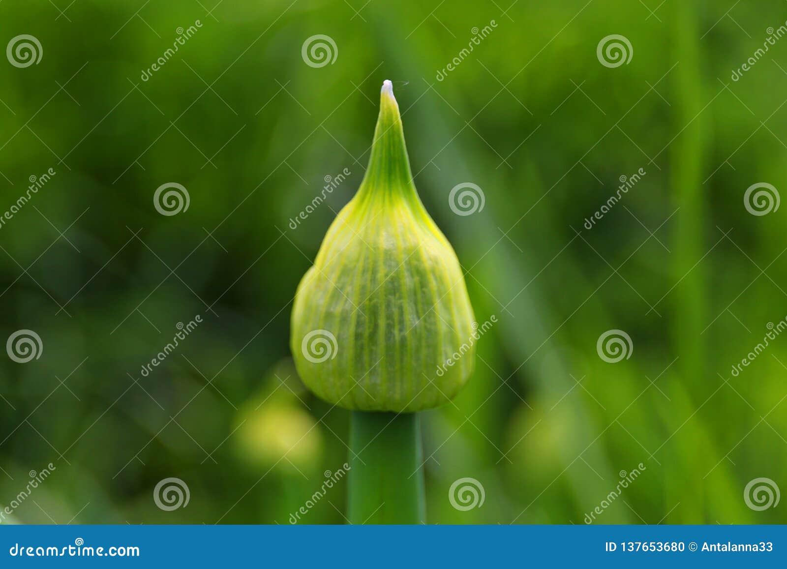 Schließen Sie oben von einer Thailand-Hakenlilie im Garten