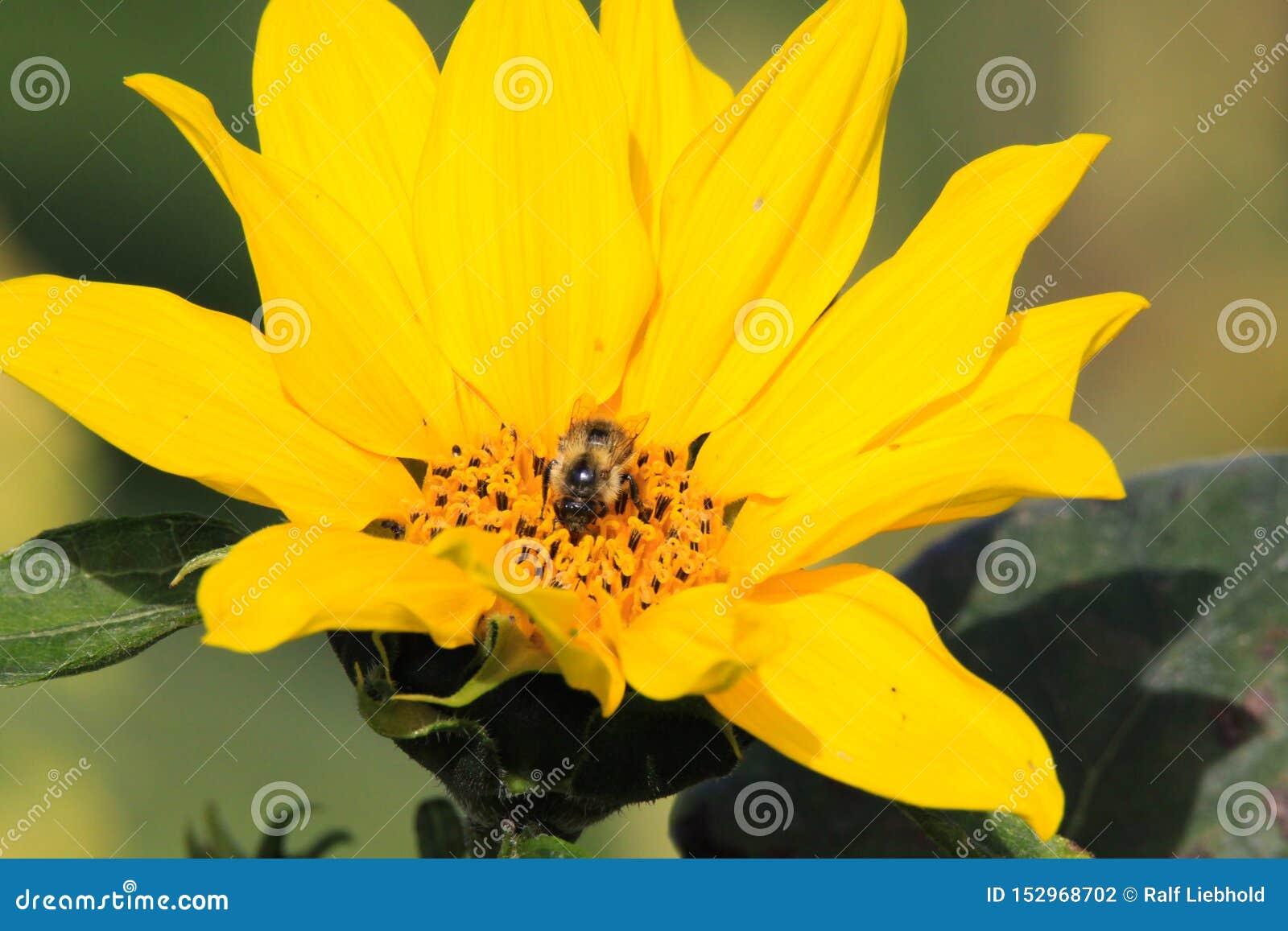 Schließen Sie oben von hellem gelbem Sonnenblumenblüte Helianthus Annuus mit lokalisierter Bestäubungsbiene - Viersen, Deutschlan