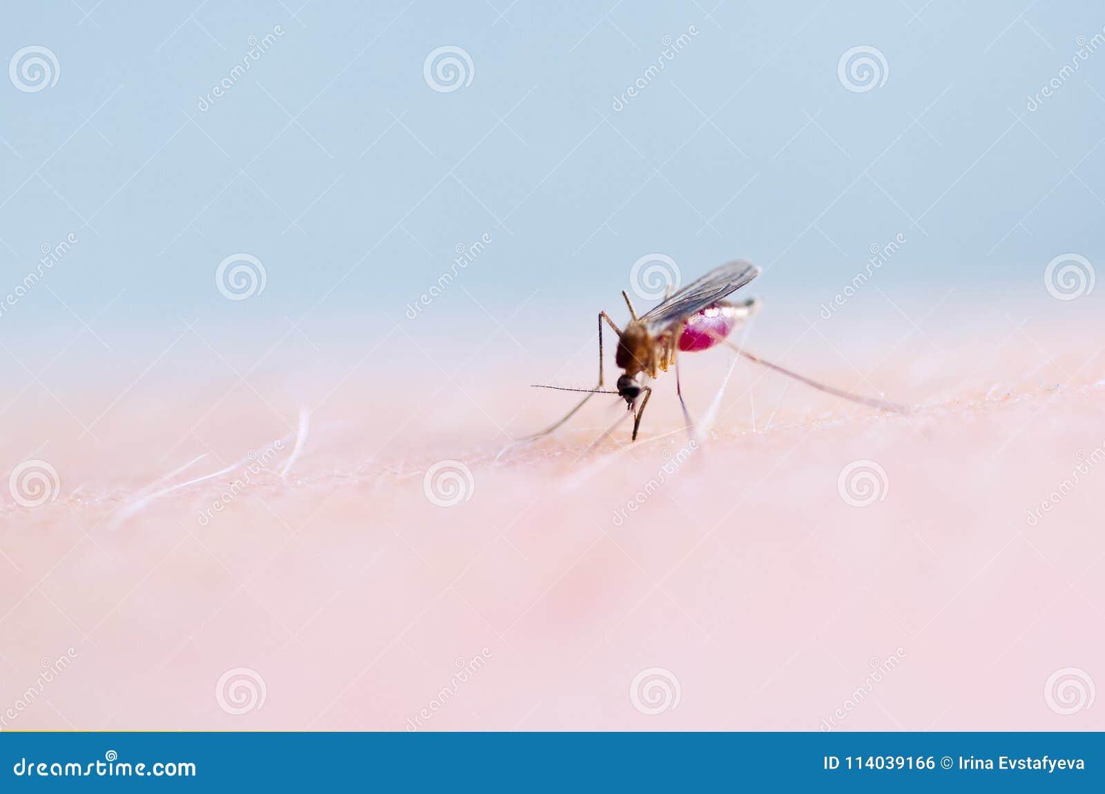 Schließen Sie oben von saugendem Blut des Moskitos auf menschlicher Haut, Moskito ist Träger von Malaria gehirnentzündung Dengue-