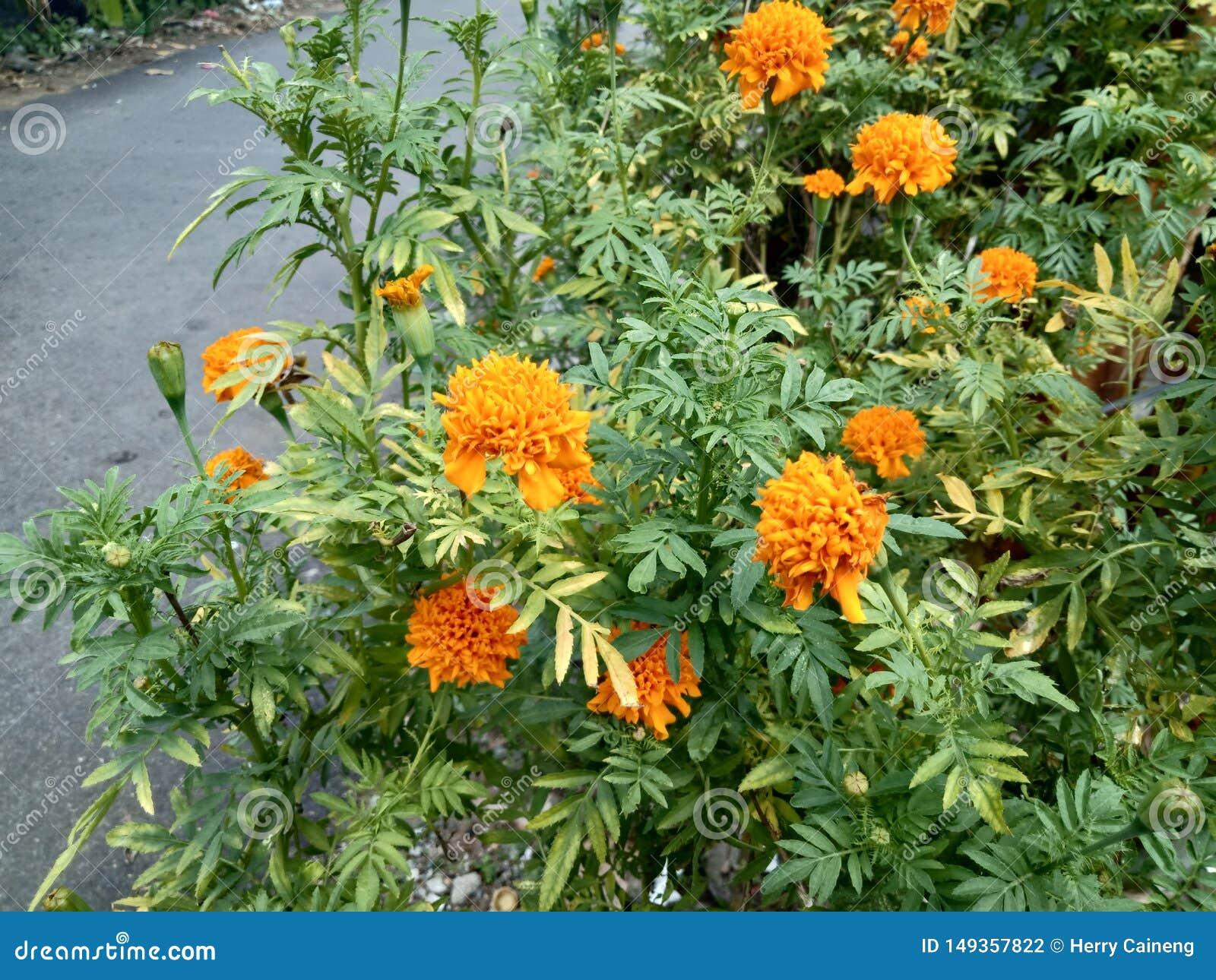 Schließen Sie oben von schönem Ringelblumenblumen Tagetes-erecta
