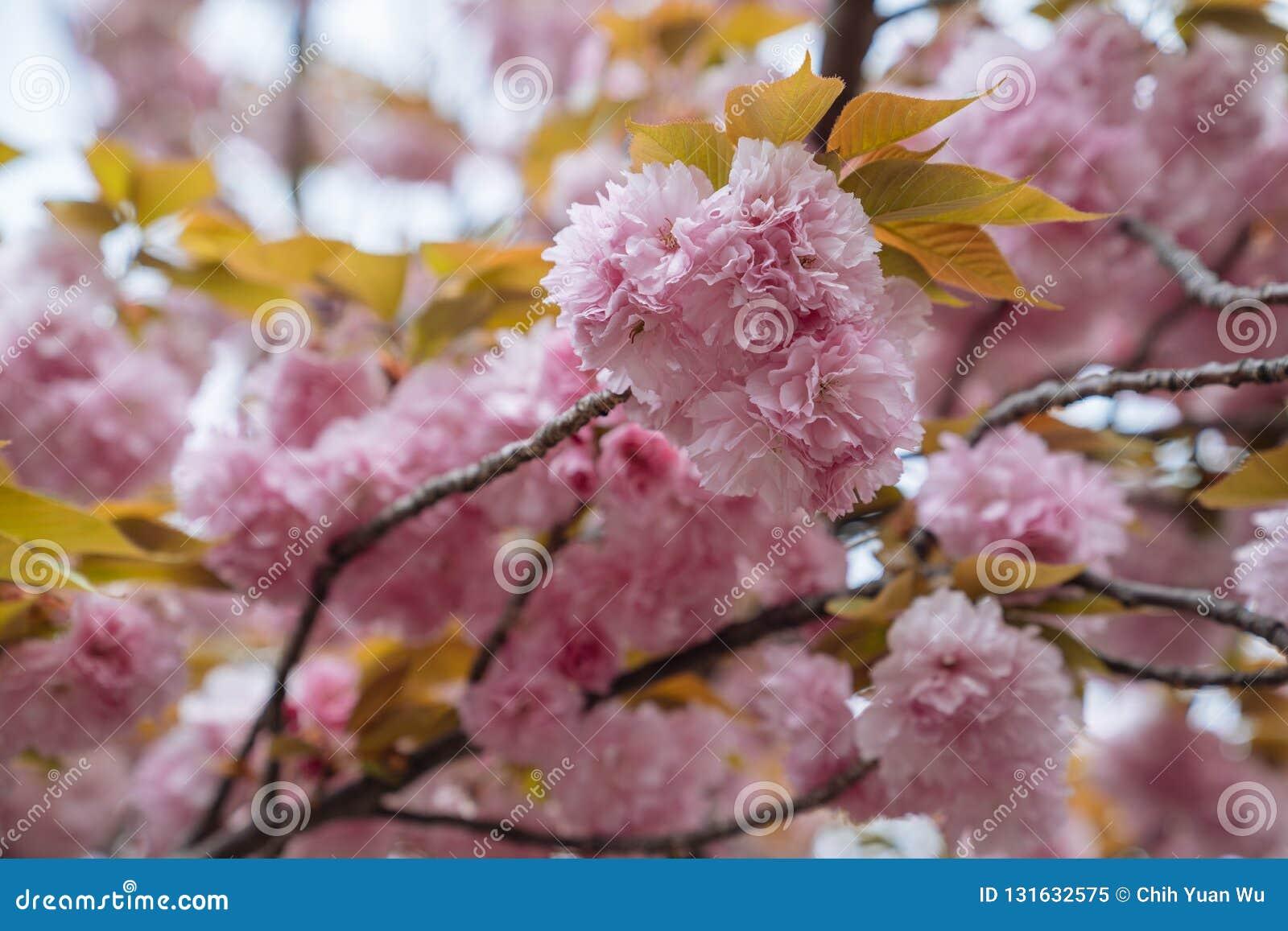 Schließen Sie oben von schönen rosa Kirschblüte-Blumen morgens Kirschblüte mit gelben Blättern auf dem Baum im Frühjahr überrasch