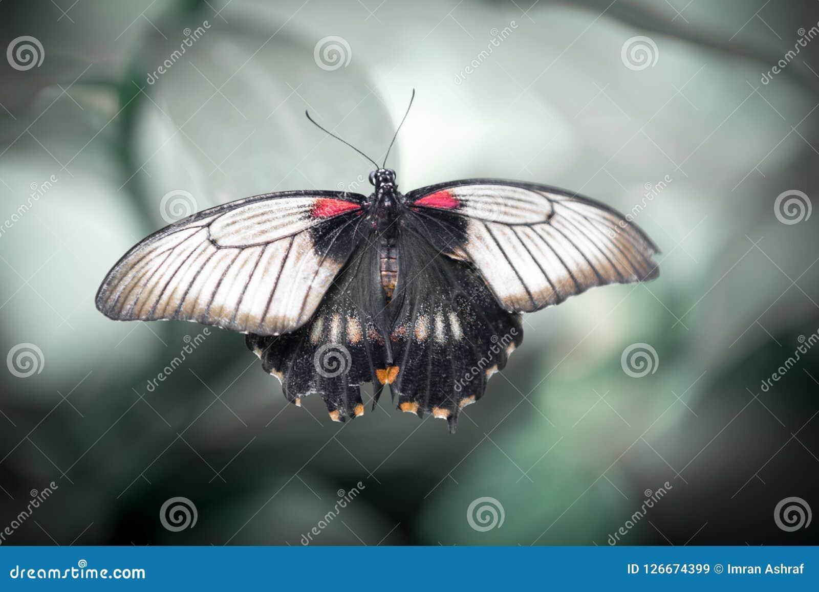 Schließen Sie oben von Schmetterling Rumanzovia Swallowtail
