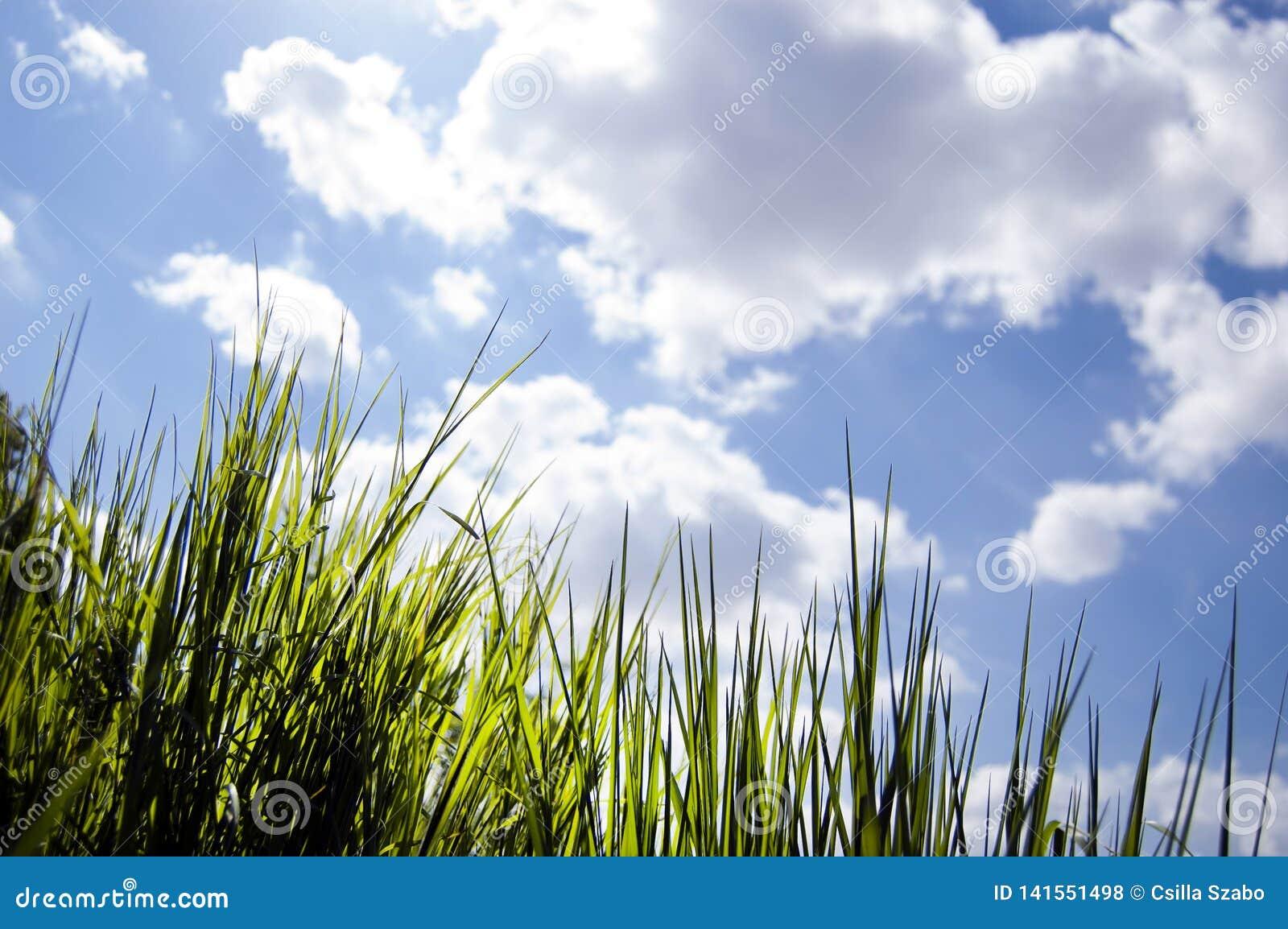 Schließen Sie oben von, unter der Ansicht des frischen neuen Wachstumsgrases und durch Gras schauen, Morgenstrahlen der Sonne, ge
