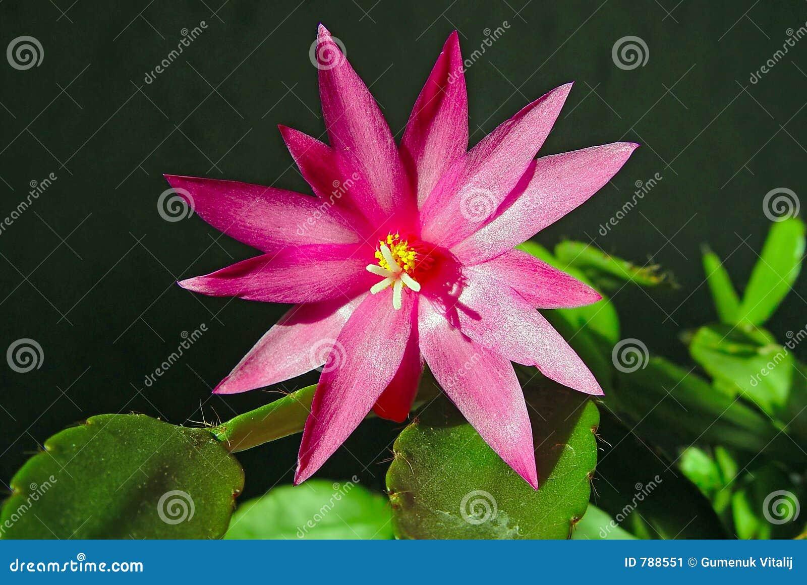Schlumbergera de floraison de cactus.