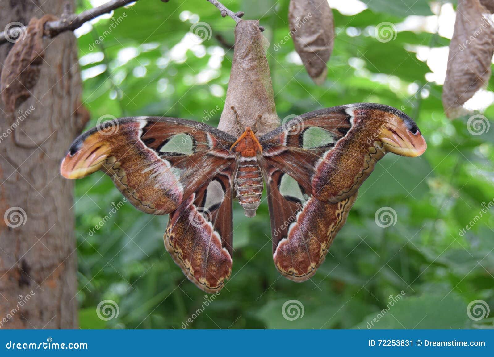 Schmetterling, Atlasspinner, Insekt