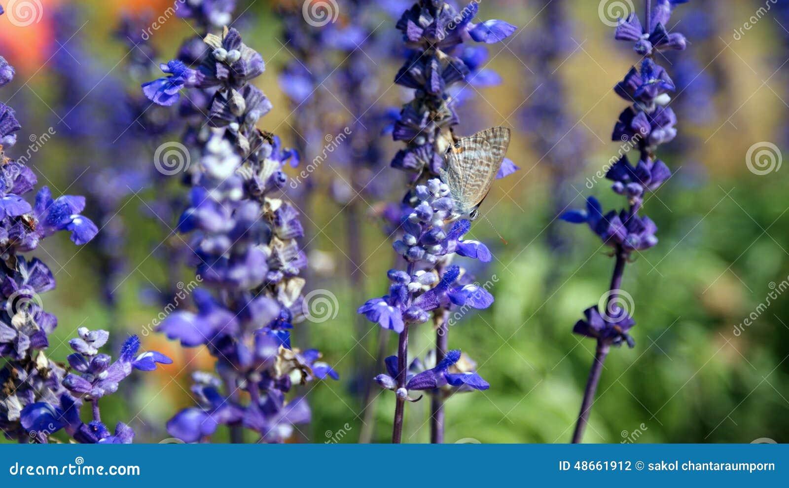 Schmetterling bule