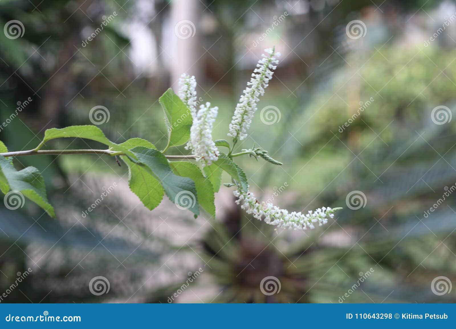 Schmetterling Bush oder Rachavadee