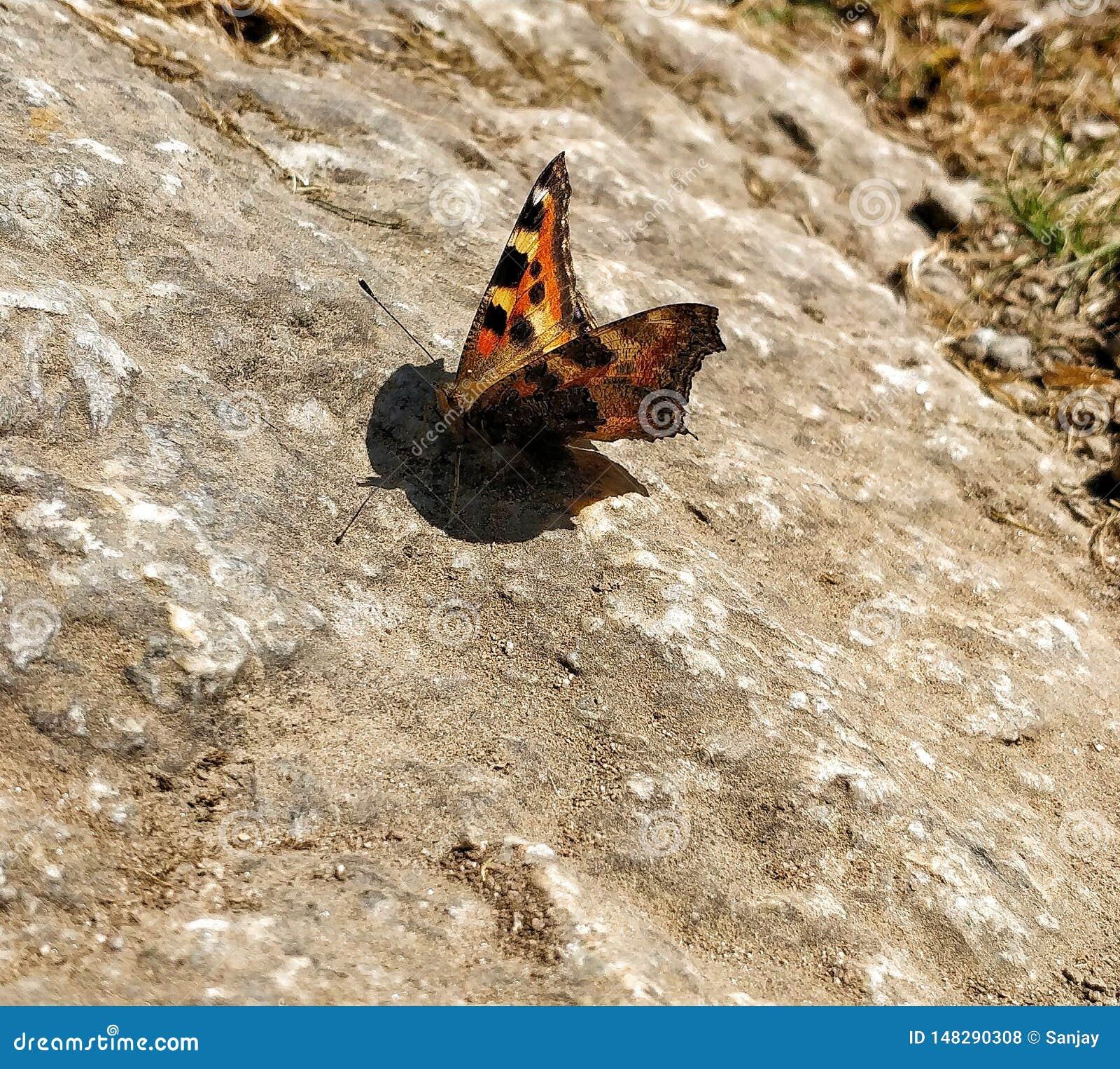 Schmetterling, der auf dem Felsen sitzt