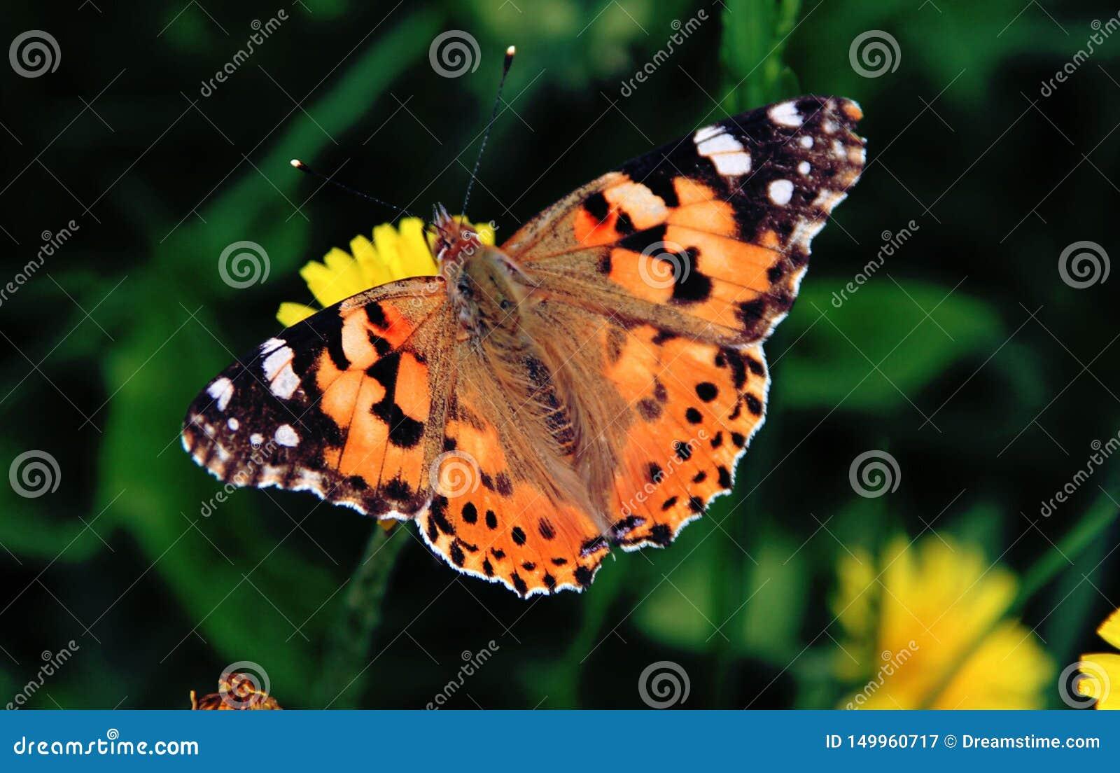 Schmetterling, der ruhig auf einer gelben Löwenzahnblume sitzt