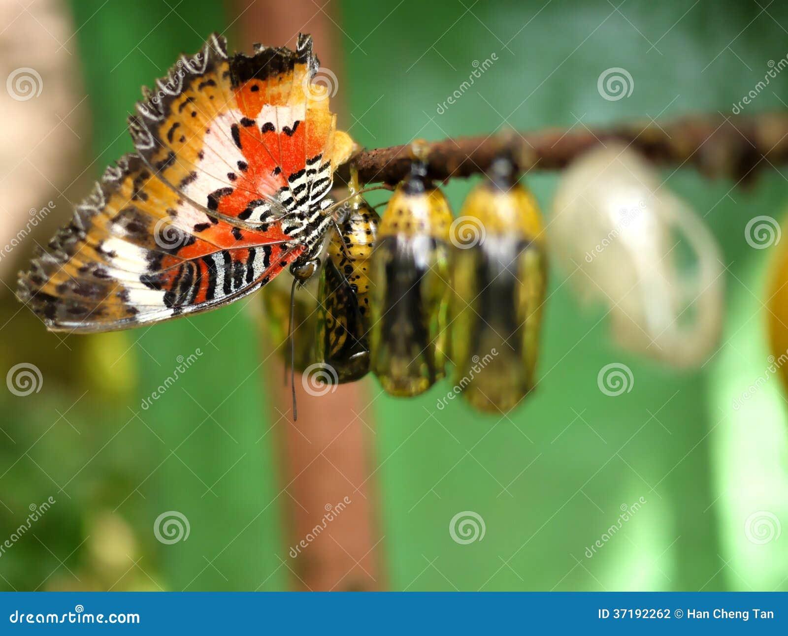 Schmetterling und Puppen