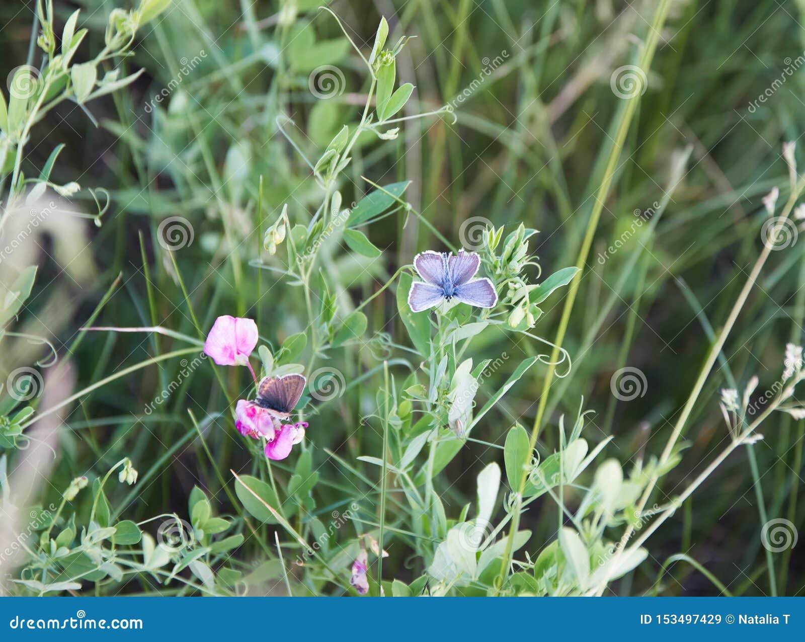 Schmetterling zwei, der auf Blumen, auf einer grünen Wiese im Sommer sitzt