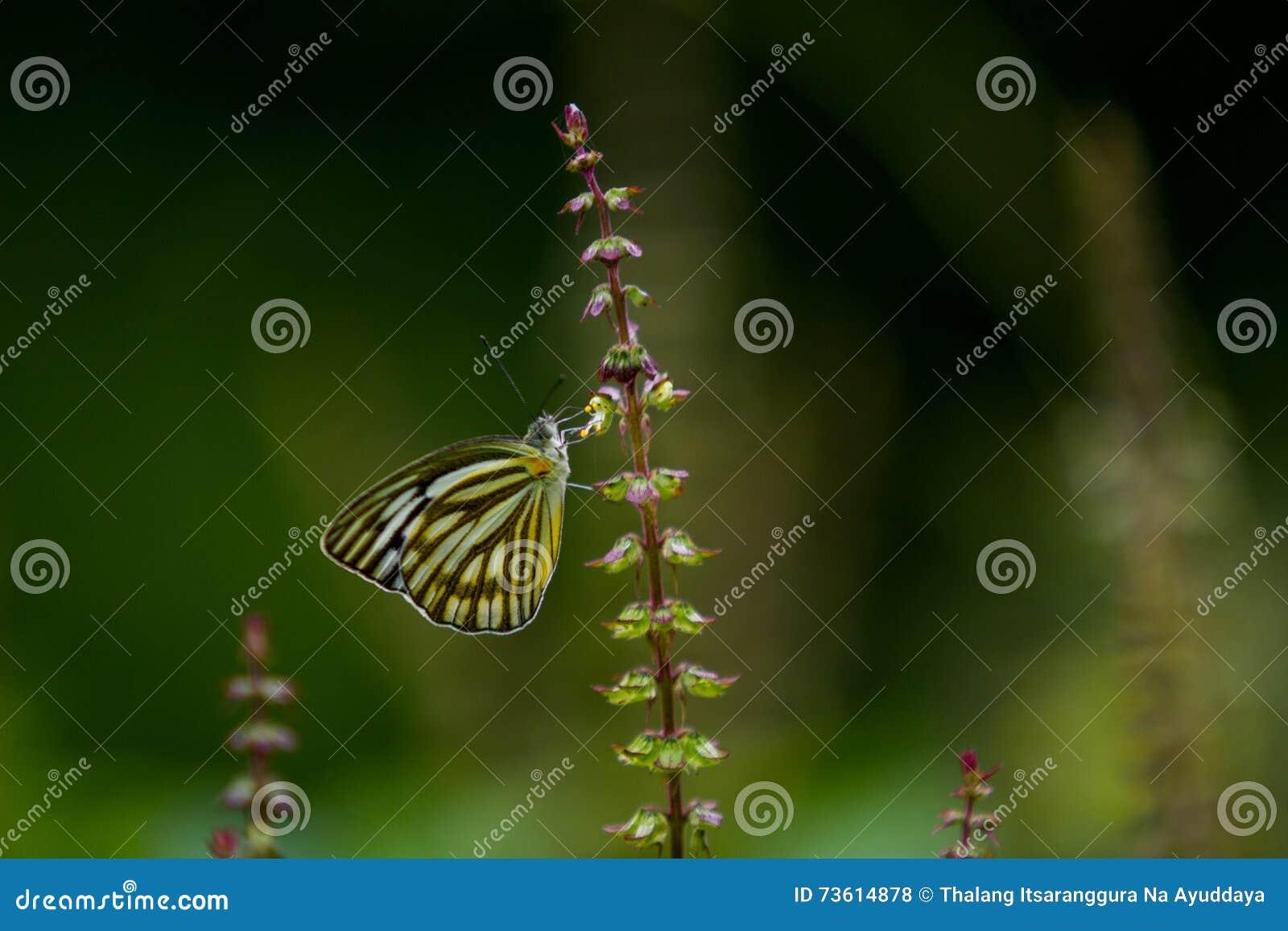 Schmetterlinge (der gemeine Pantomime) und Blumen