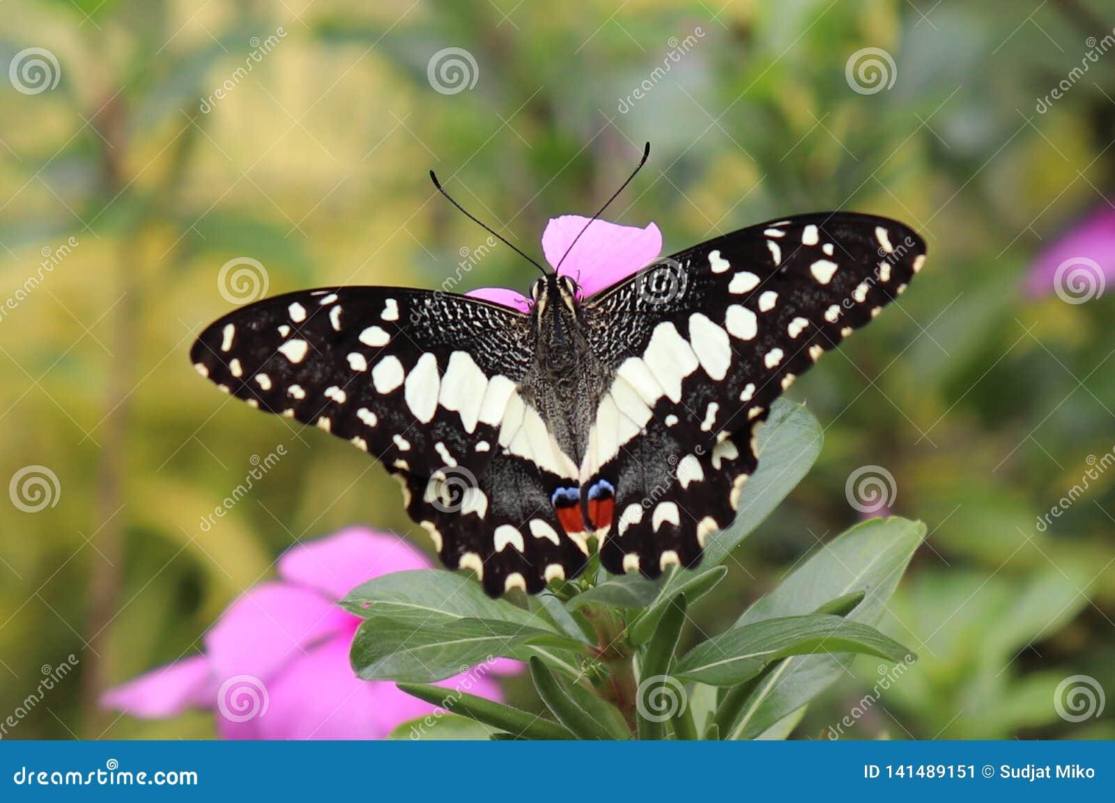 Schmetterlinge, die Blumenwesentliches im Garten saugen