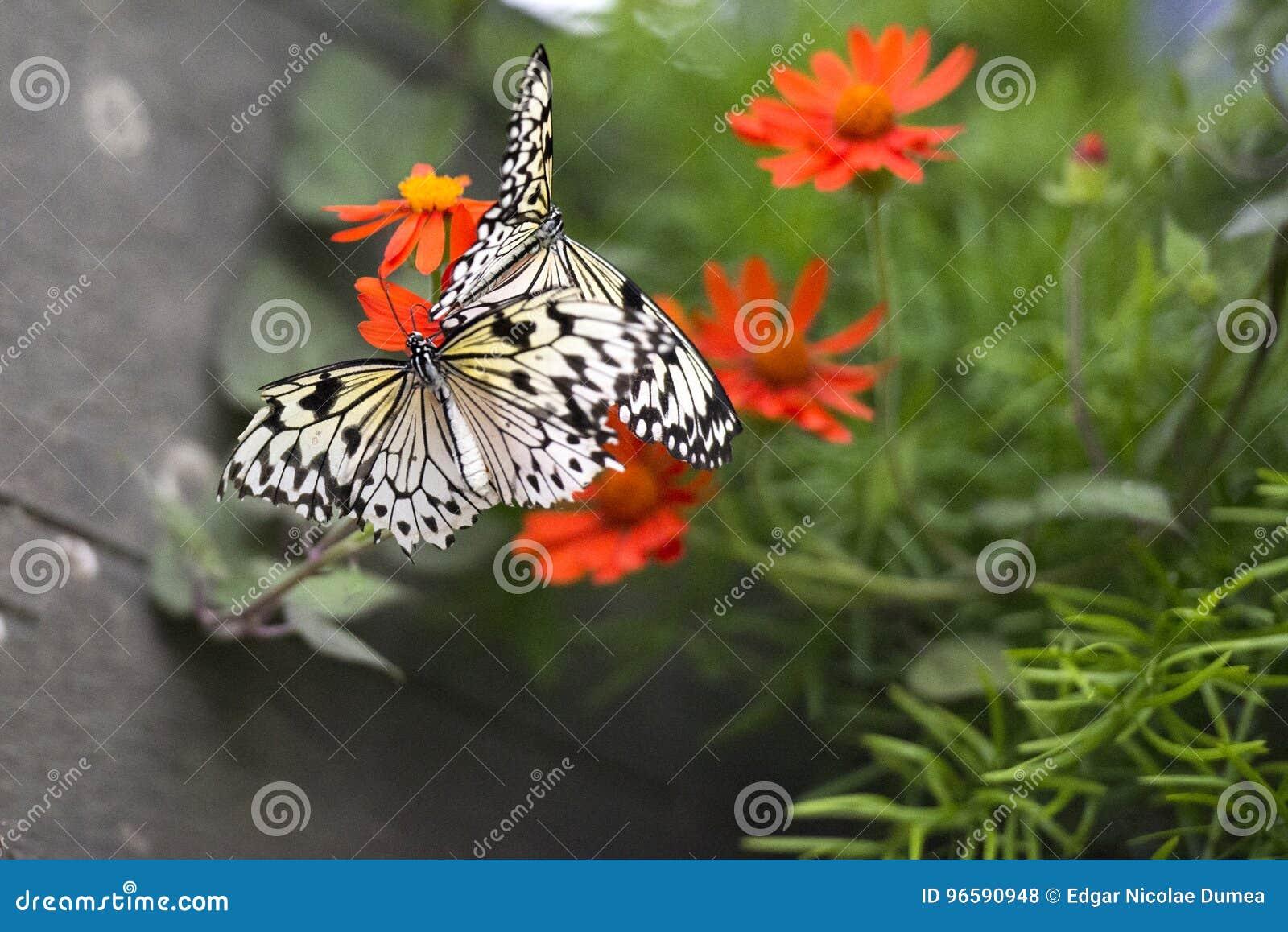 Schmetterlinge, die zu einer Blume Guten Tag sagen