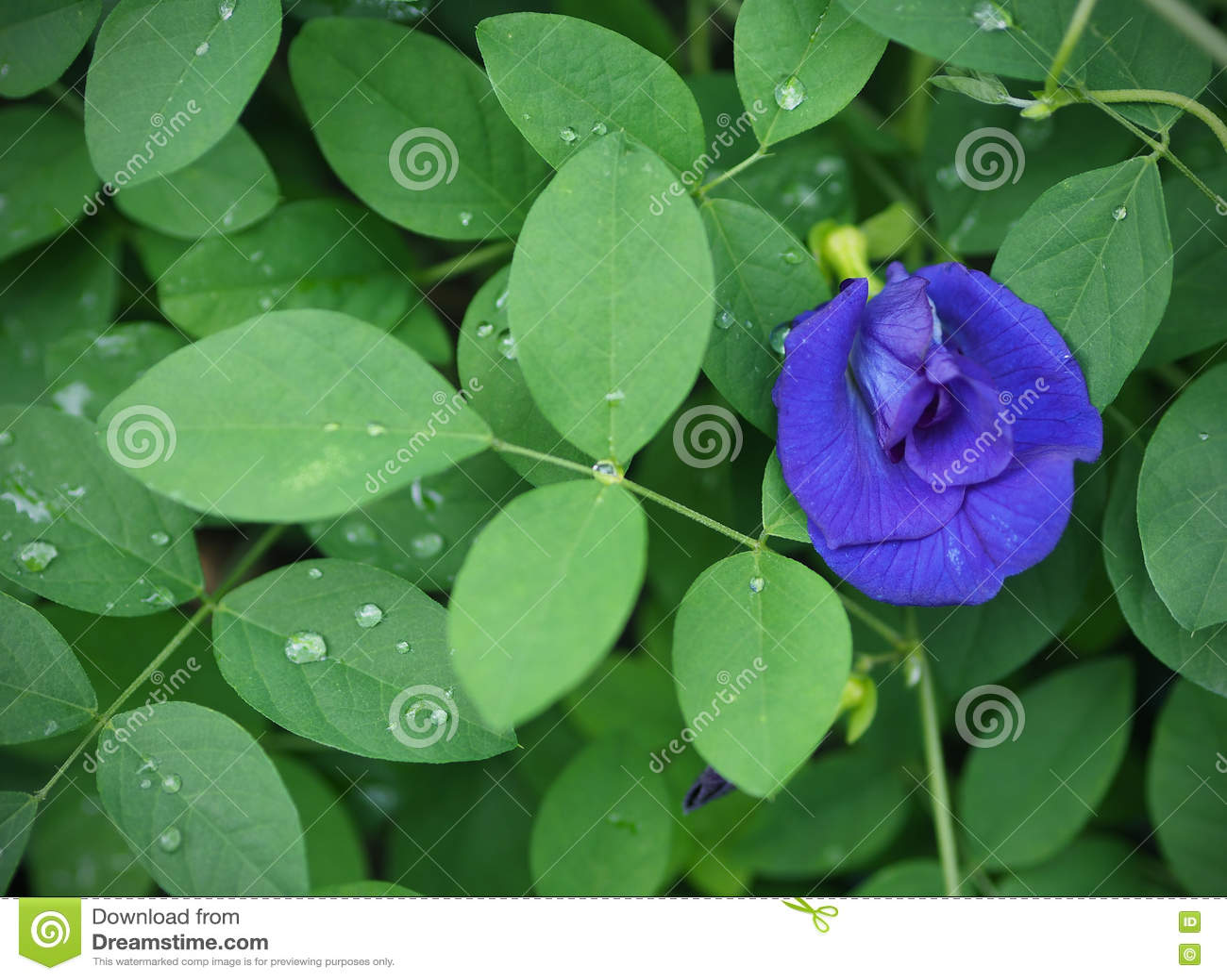 Schmetterlingserbse Blüht Blaue Farbe Mit Grünem Blatt Nach ...