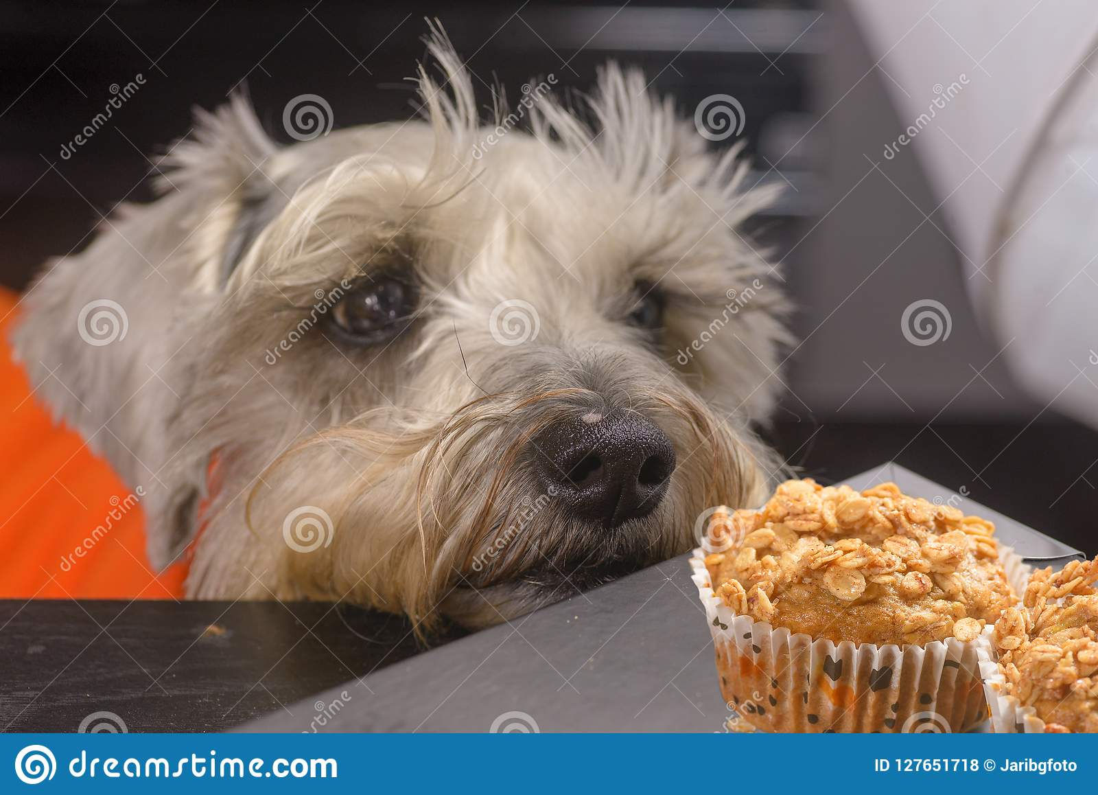 Schnauzer dog craving a muffin