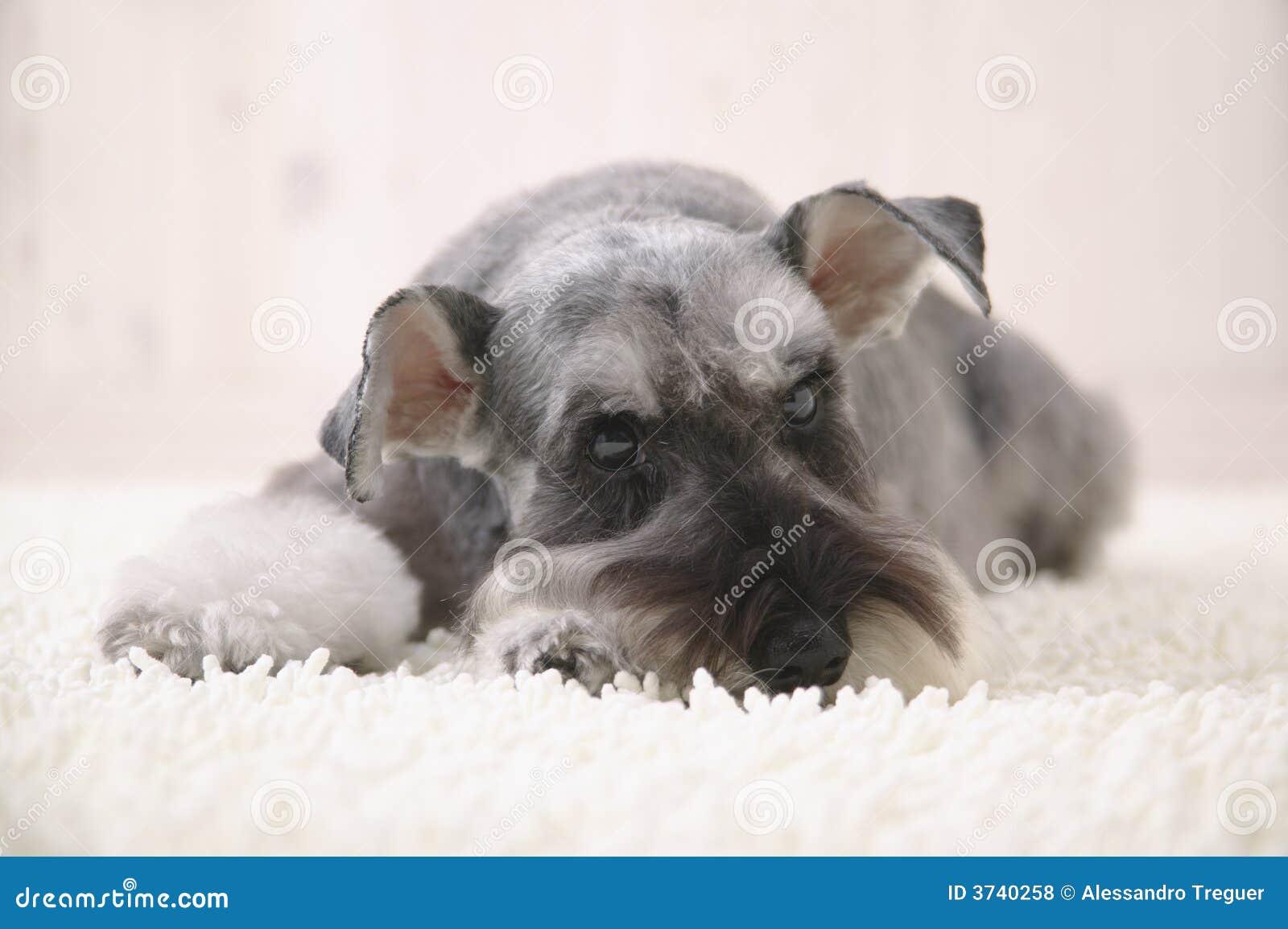 Schnauzer Dog On The White Carpet Royalty Free Stock
