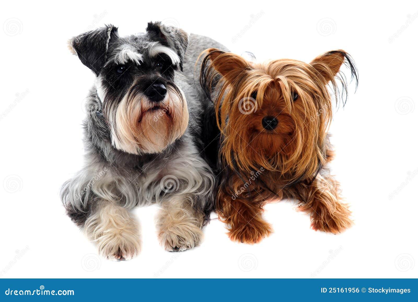Schnauzer e terrier de Yorkshire que encontra-se no assoalho