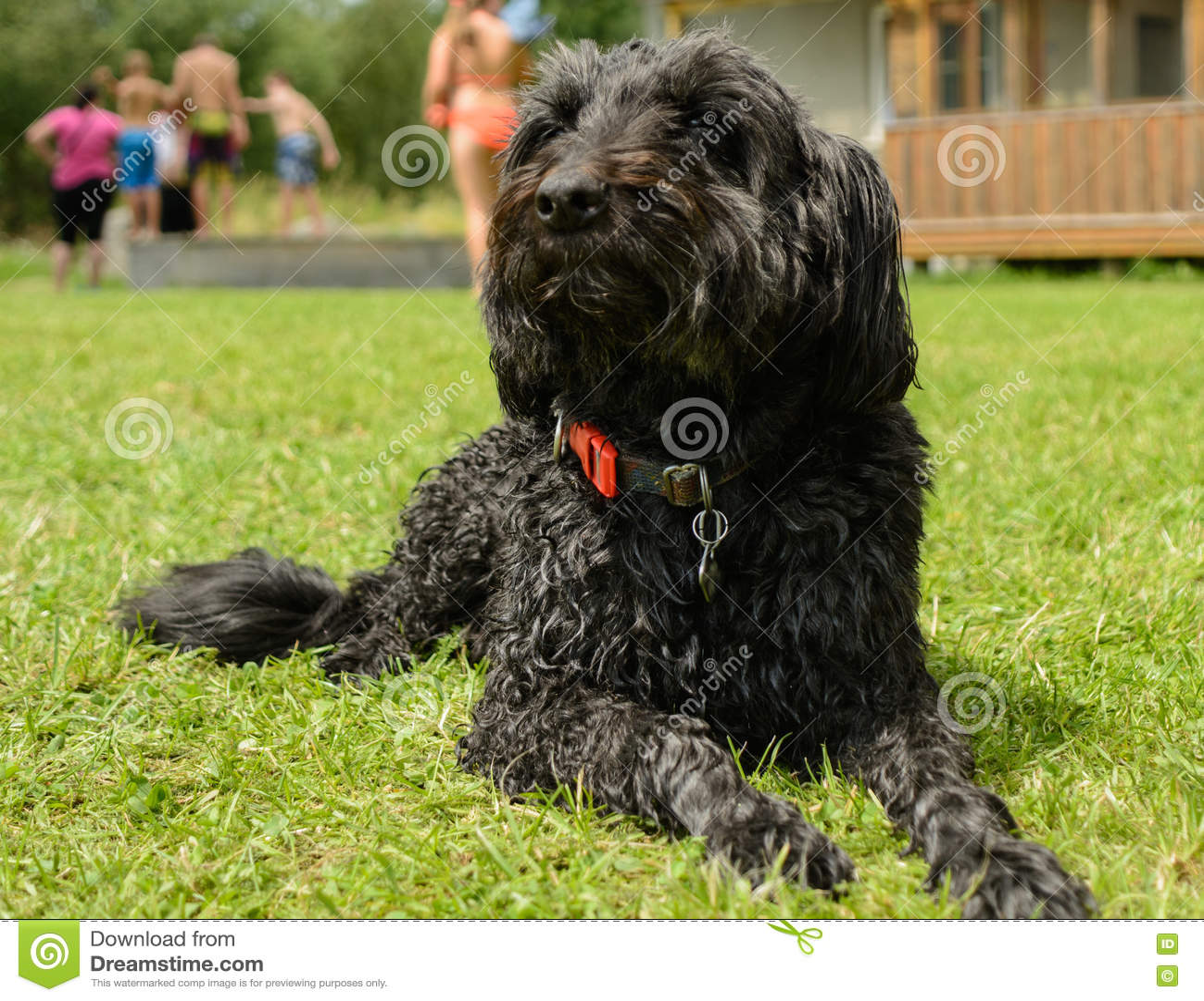 Schnauzer medio negro atento - retrato animal