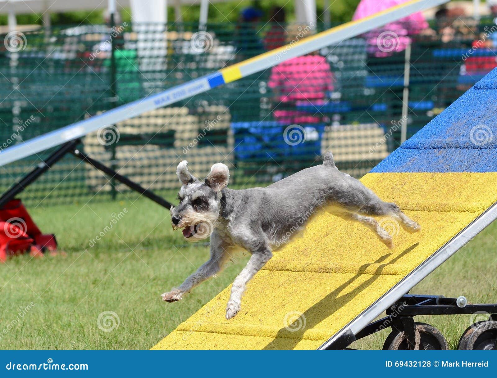 Schnauzer miniatura alla prova di agilità del cane