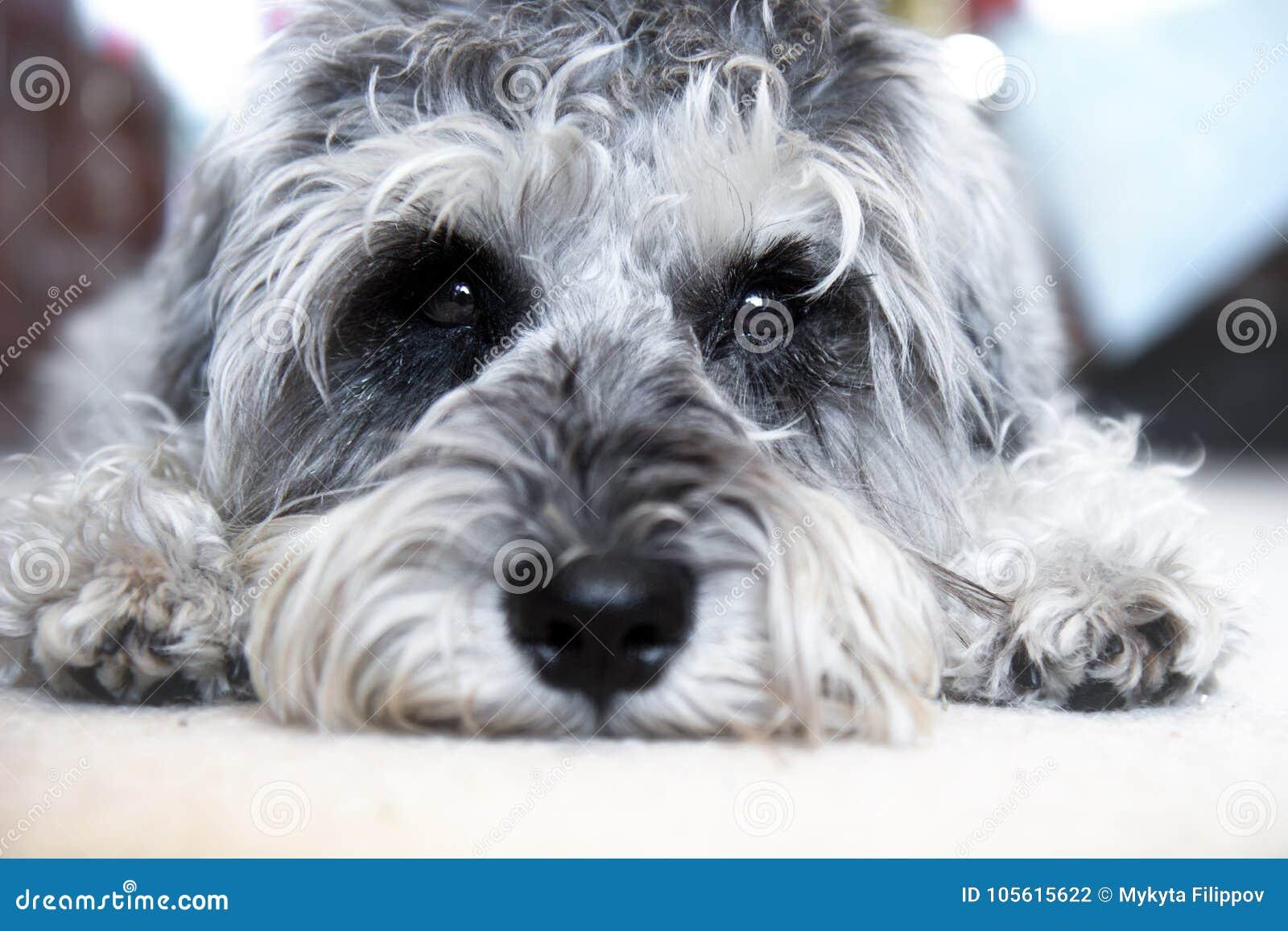 Schnauzer miniatura del cucciolo