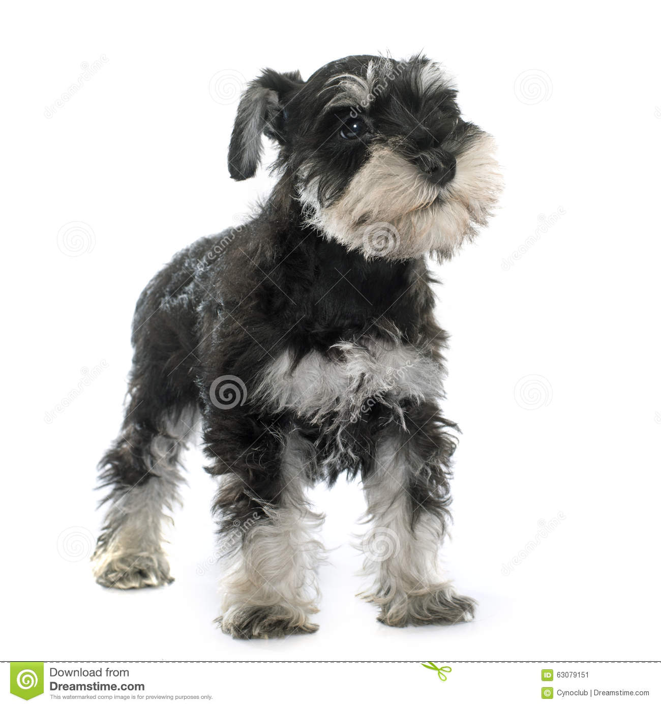 Download Schnauzer Miniature De Chiot Image stock - Image du chiot, miniature: 63079151