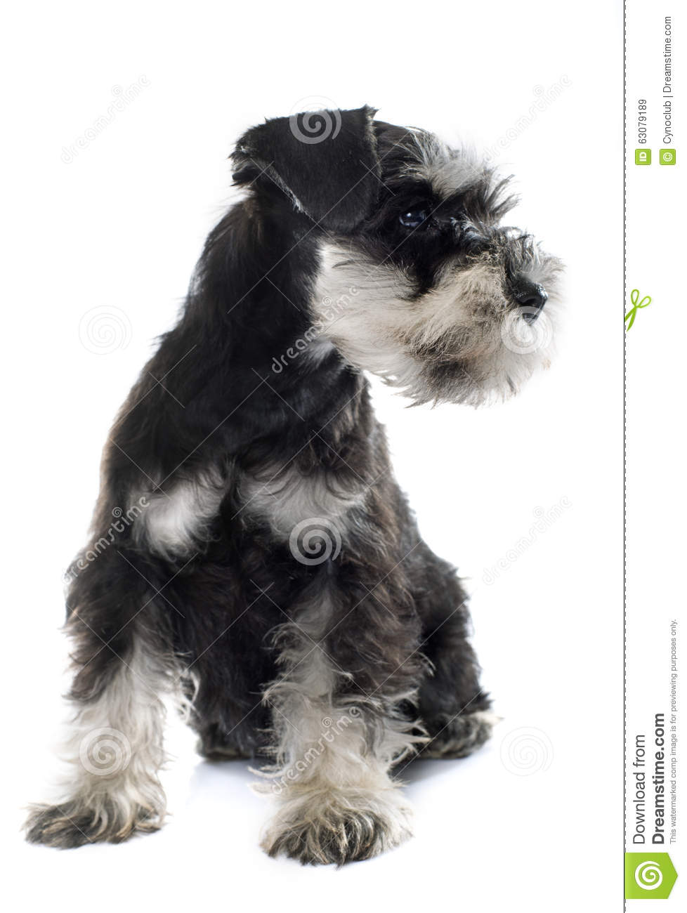 Download Schnauzer Miniature De Chiot Image stock - Image du noir, miniature: 63079189
