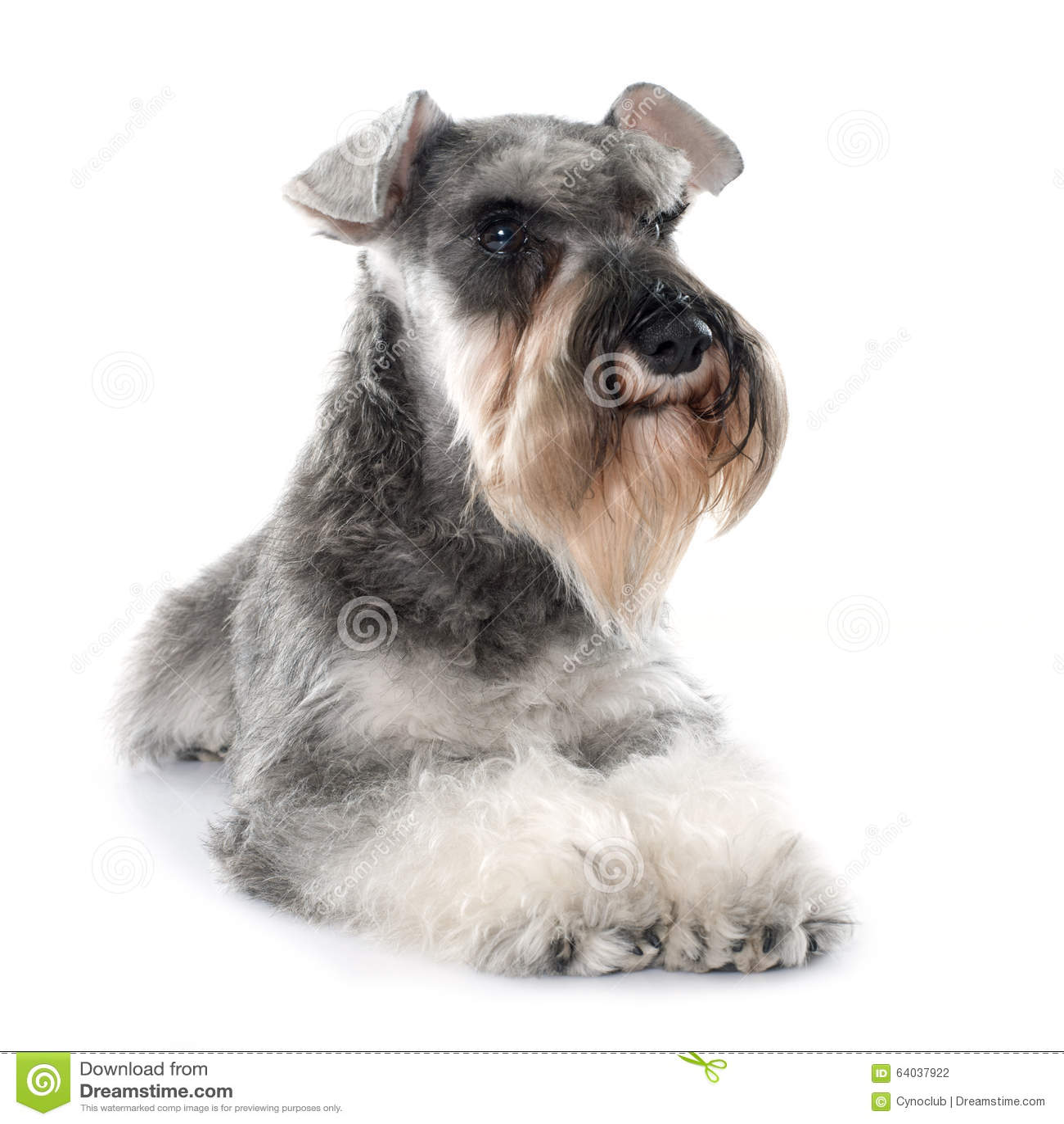 Schnauzer miniature gris