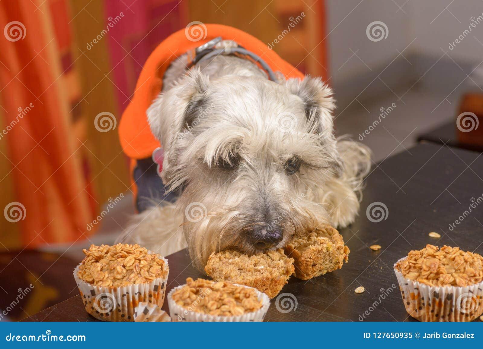 Schnauzer psi pragnienie słodka bułeczka