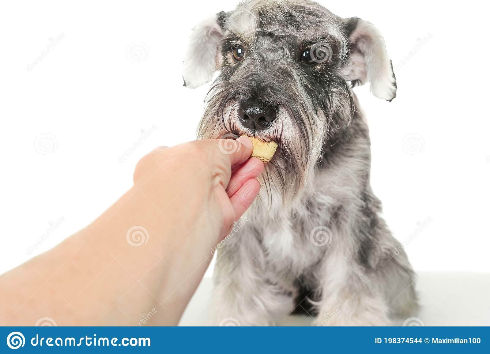 232 Schnauzer Food Photos Free Royalty Free Stock Photos From Dreamstime