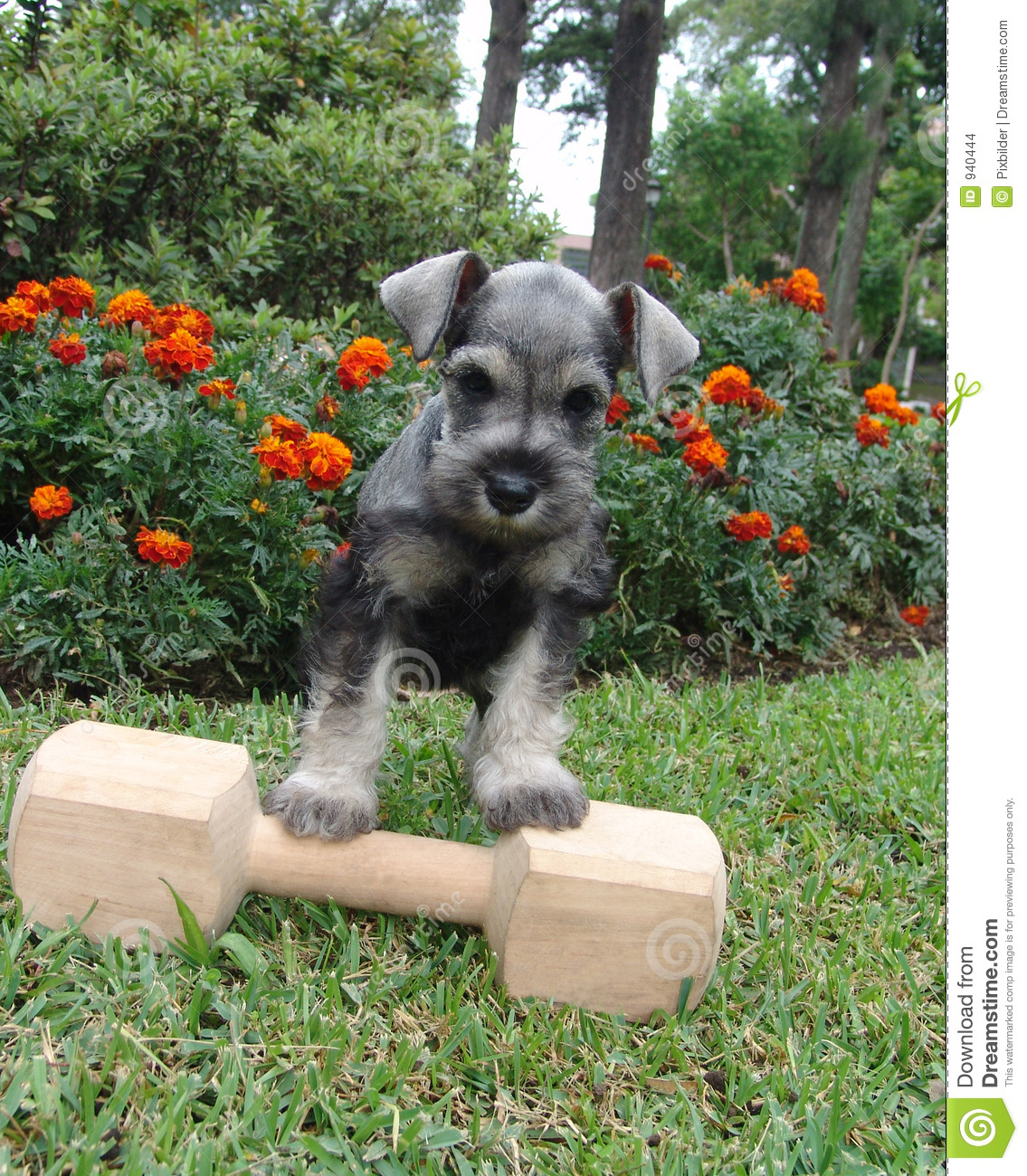 Six weeks old pure breed miniature schnauzer standing on a wooden bone ...