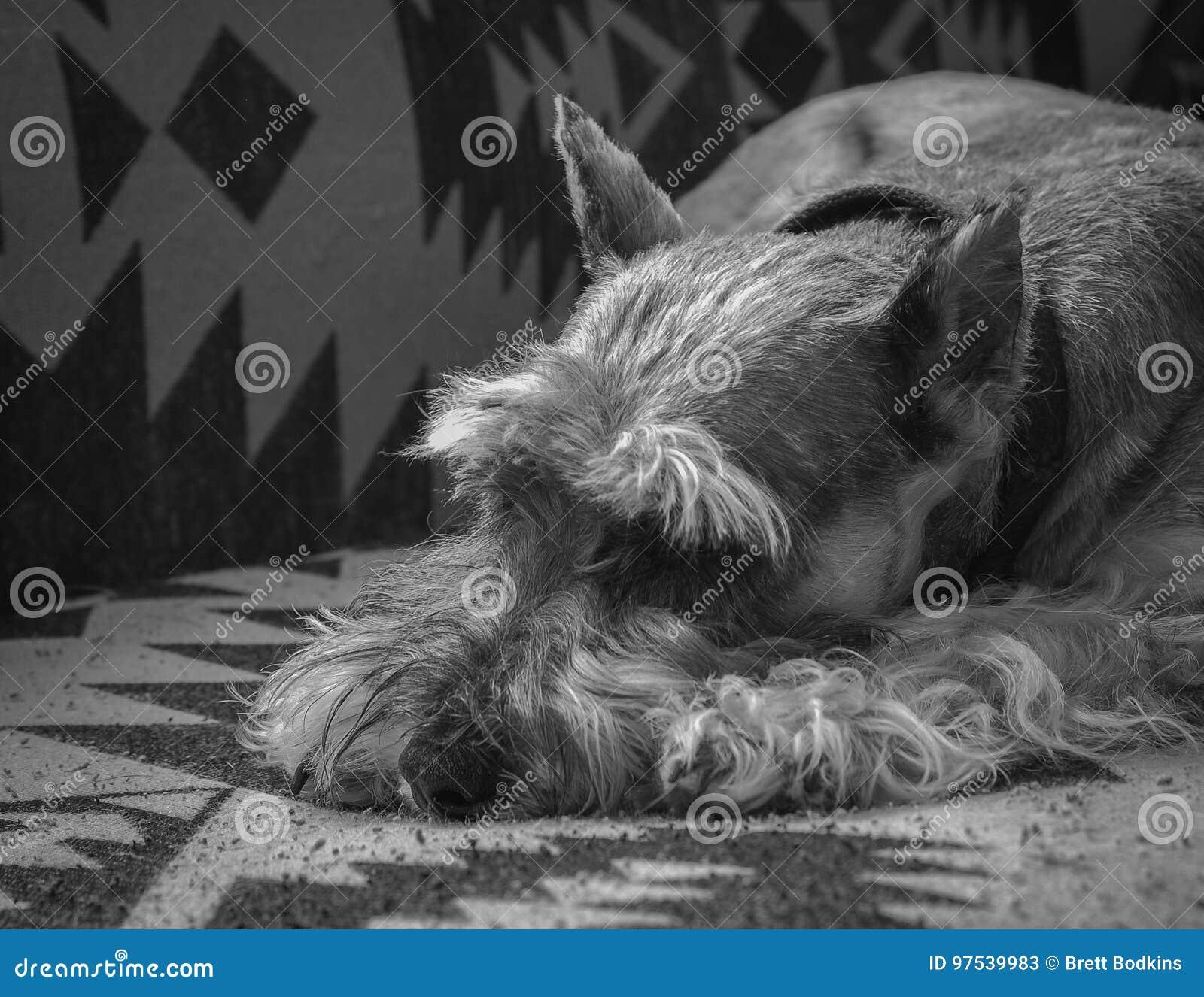 Schnauzer que descansa no sofá