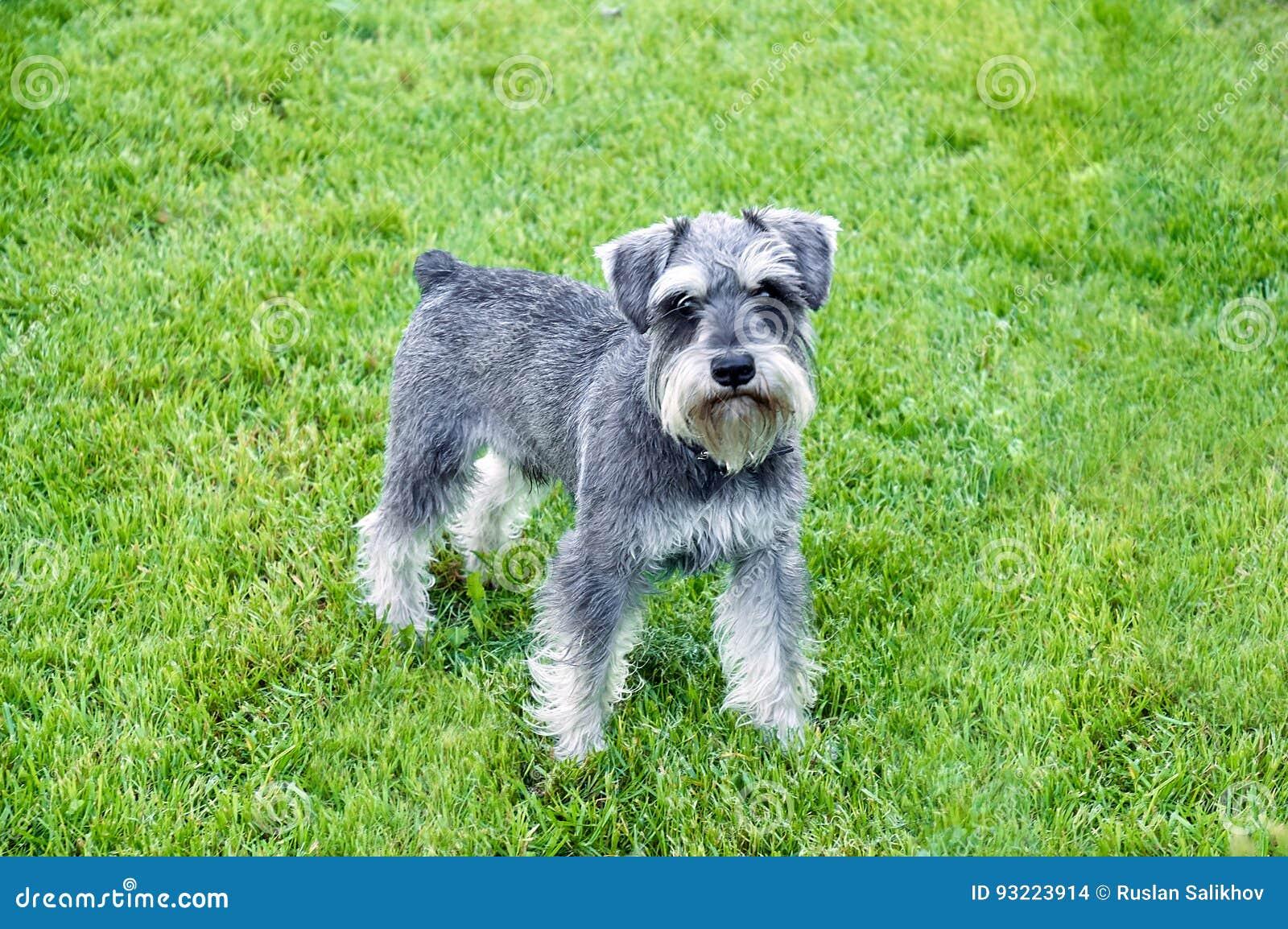 Schnauzer stands in the grass