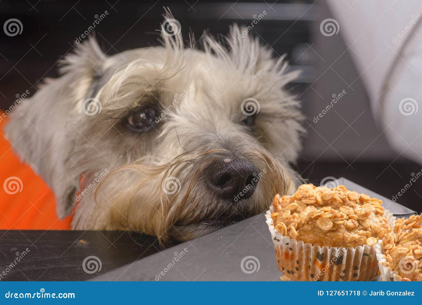 Schnauzerhund som kräver en muffin