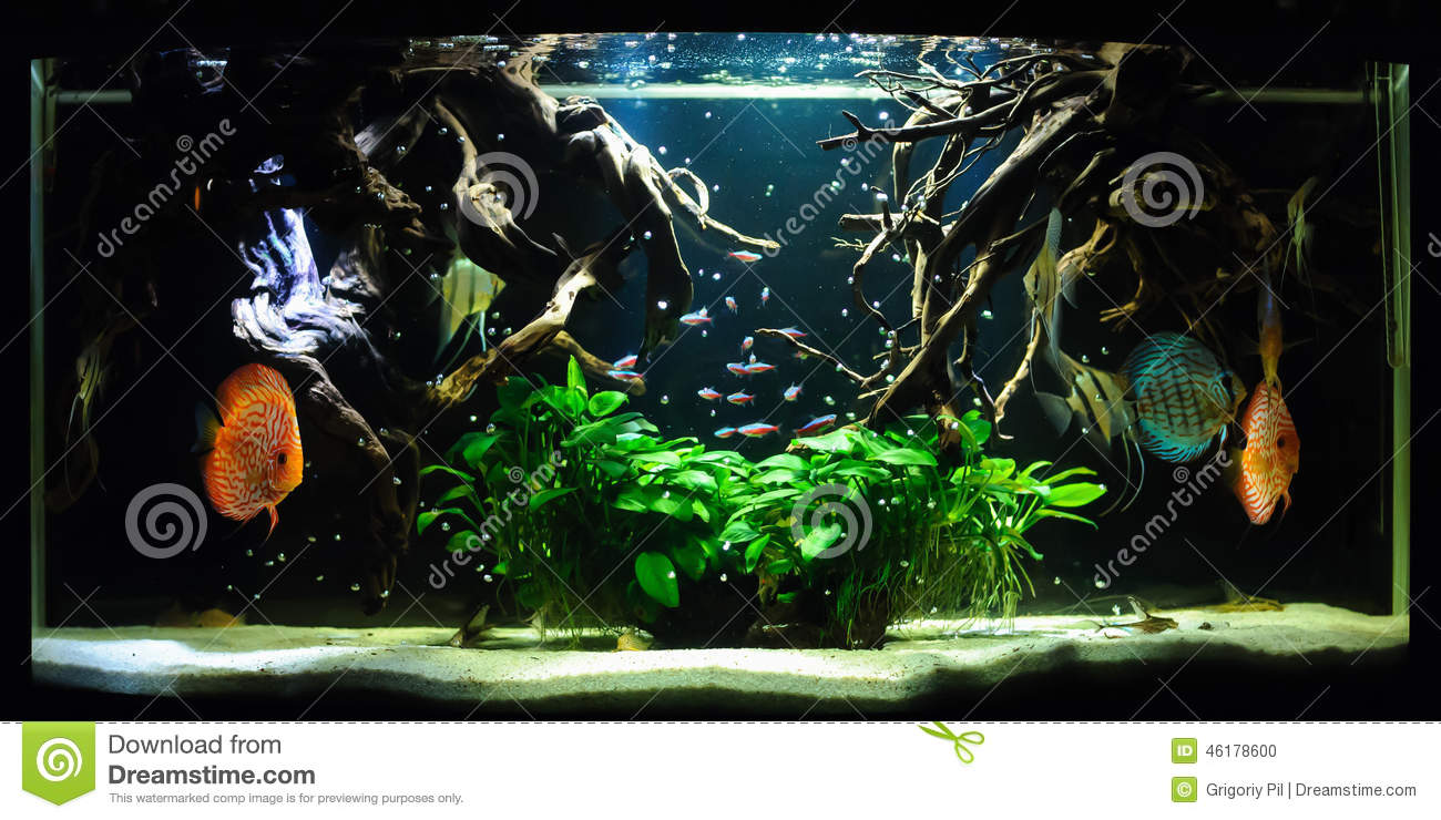 sch ne blaue fische im aquarium stockfoto bild 46178600. Black Bedroom Furniture Sets. Home Design Ideas